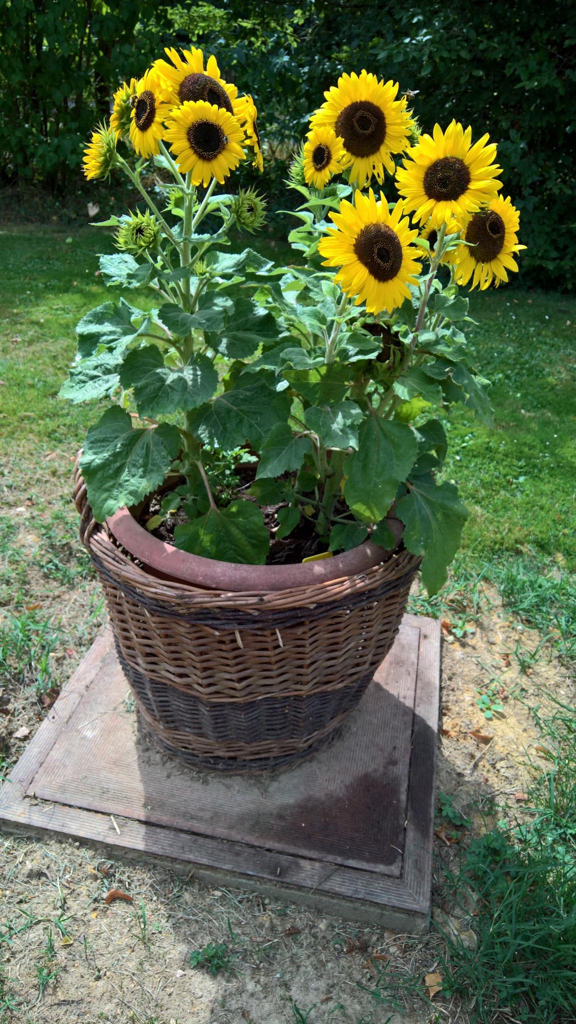 Die kurzbeinigen Sonnenblumen vor dem Haus