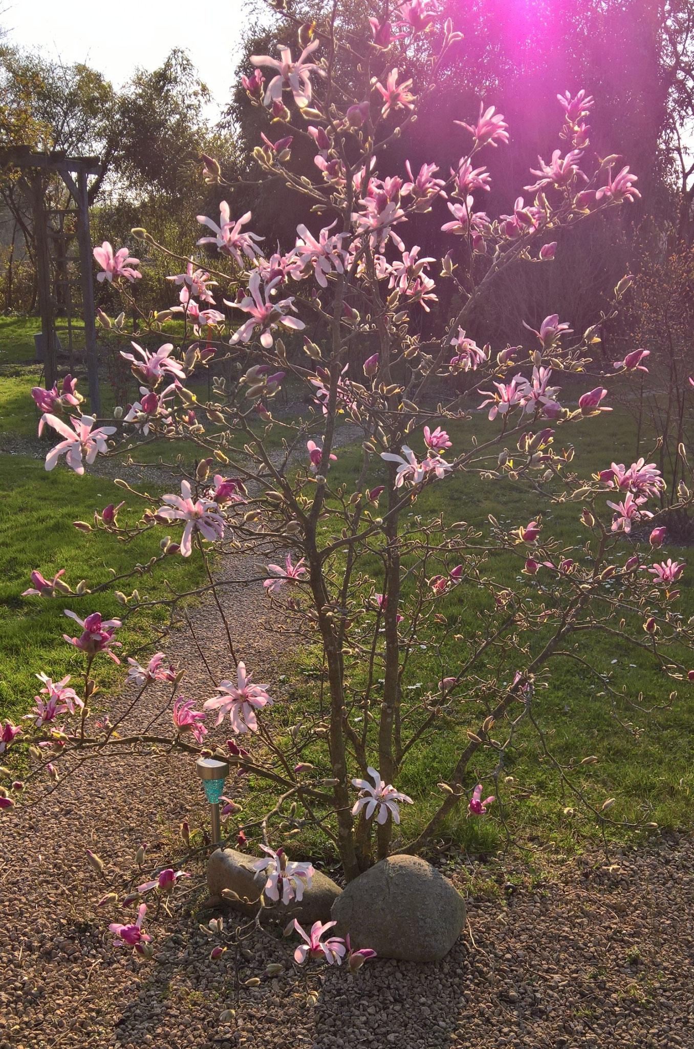 Voll blühende Magnolie