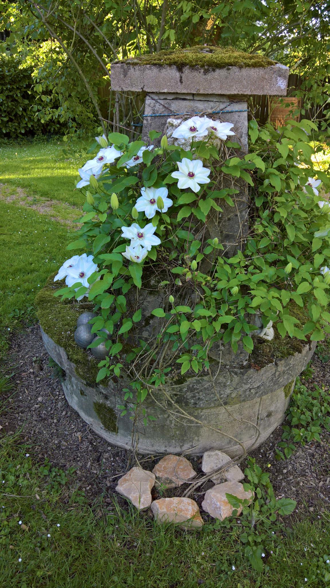 die weisse Clematis am Ziehbrunnen fängt an zu blühen