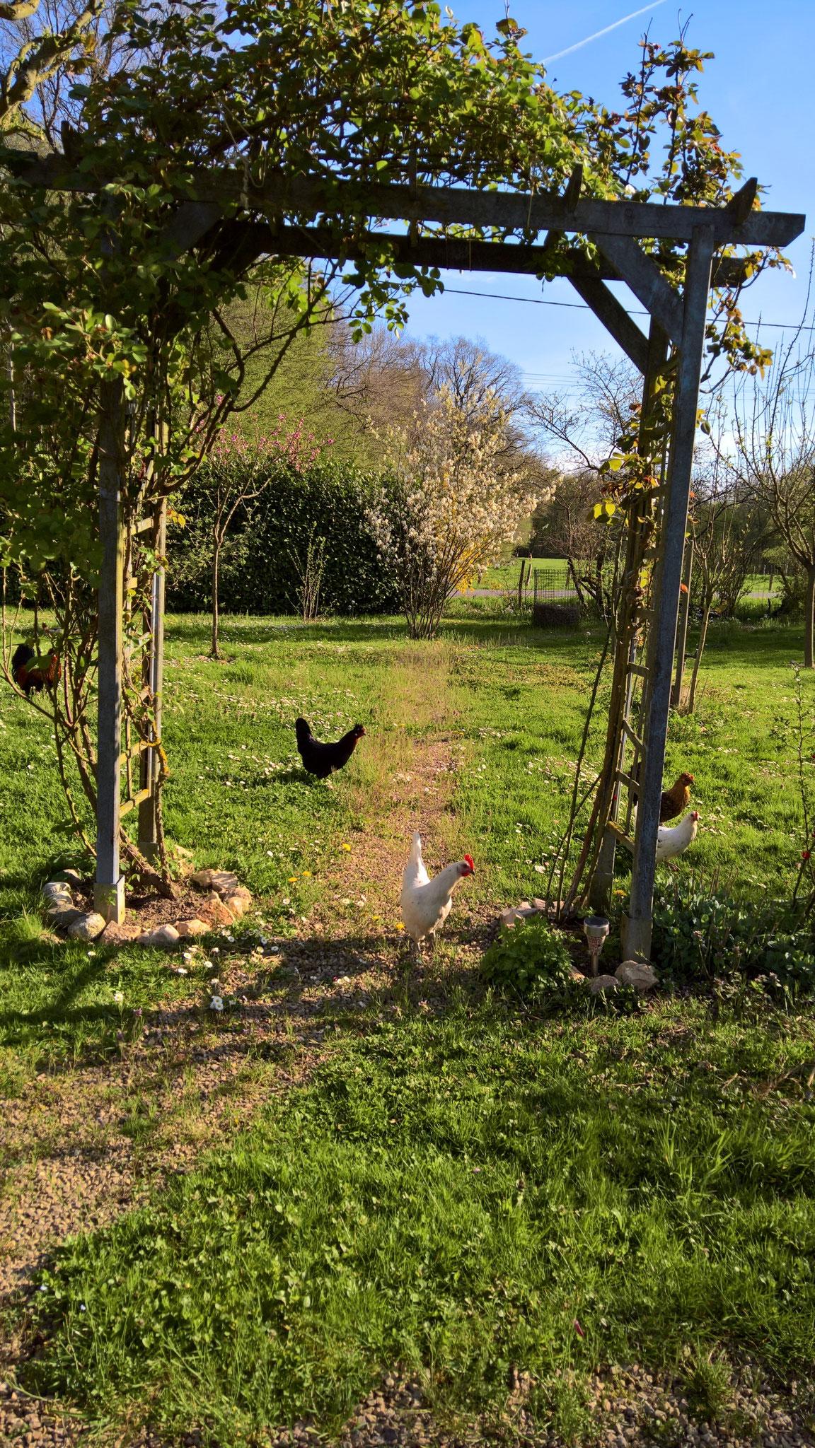 Die Hühner unterwegs