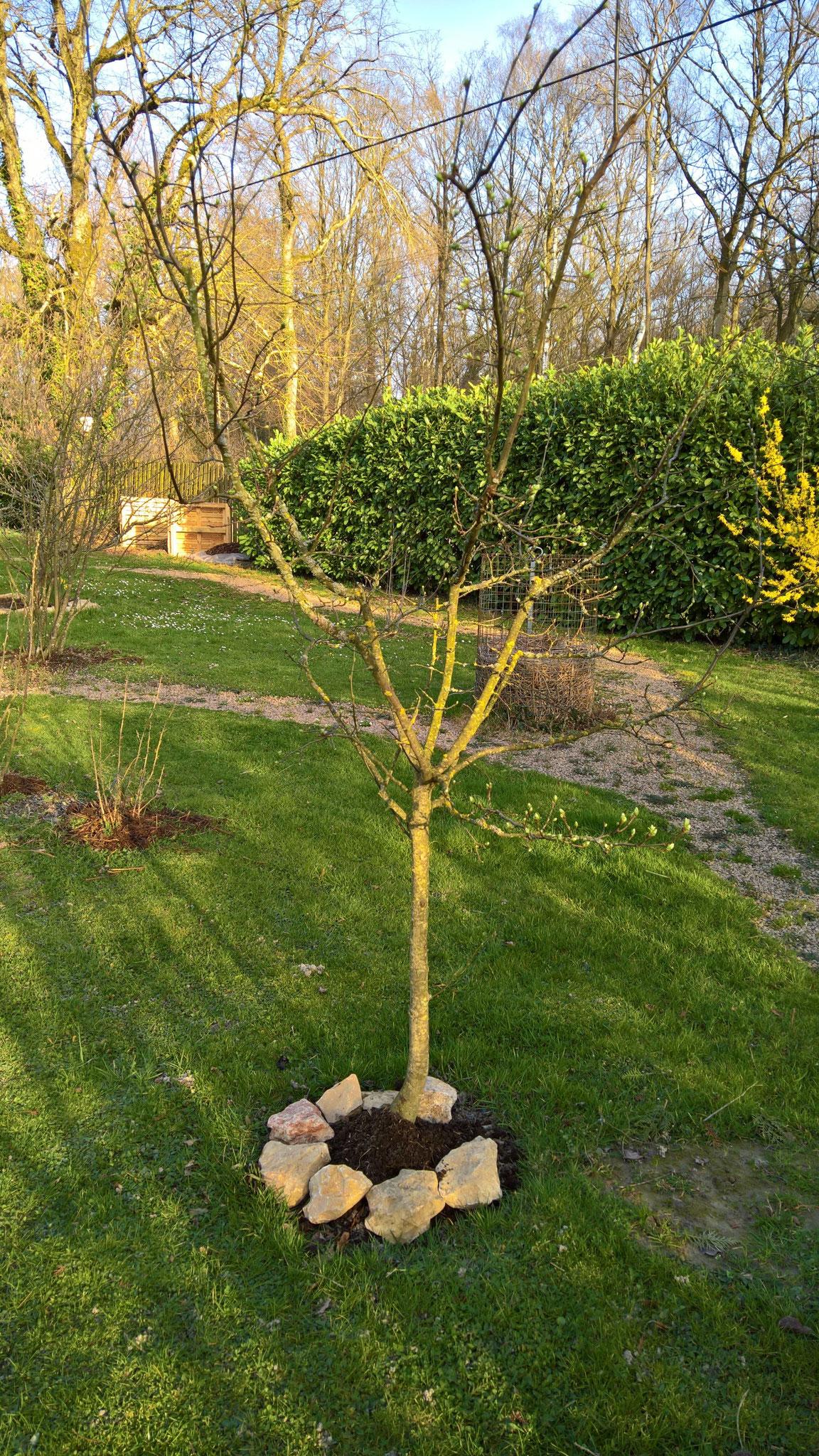 Der Quittenbaum erhält einen Schutzwall gegen die Hühner