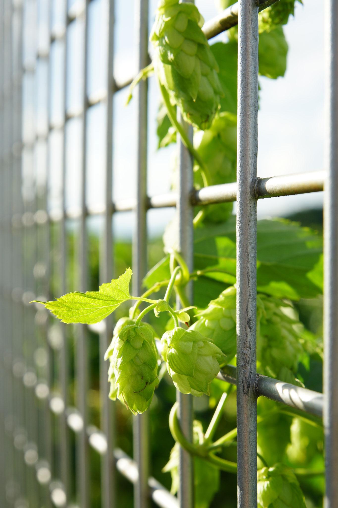 Hopfen am Zaun Bild 2
