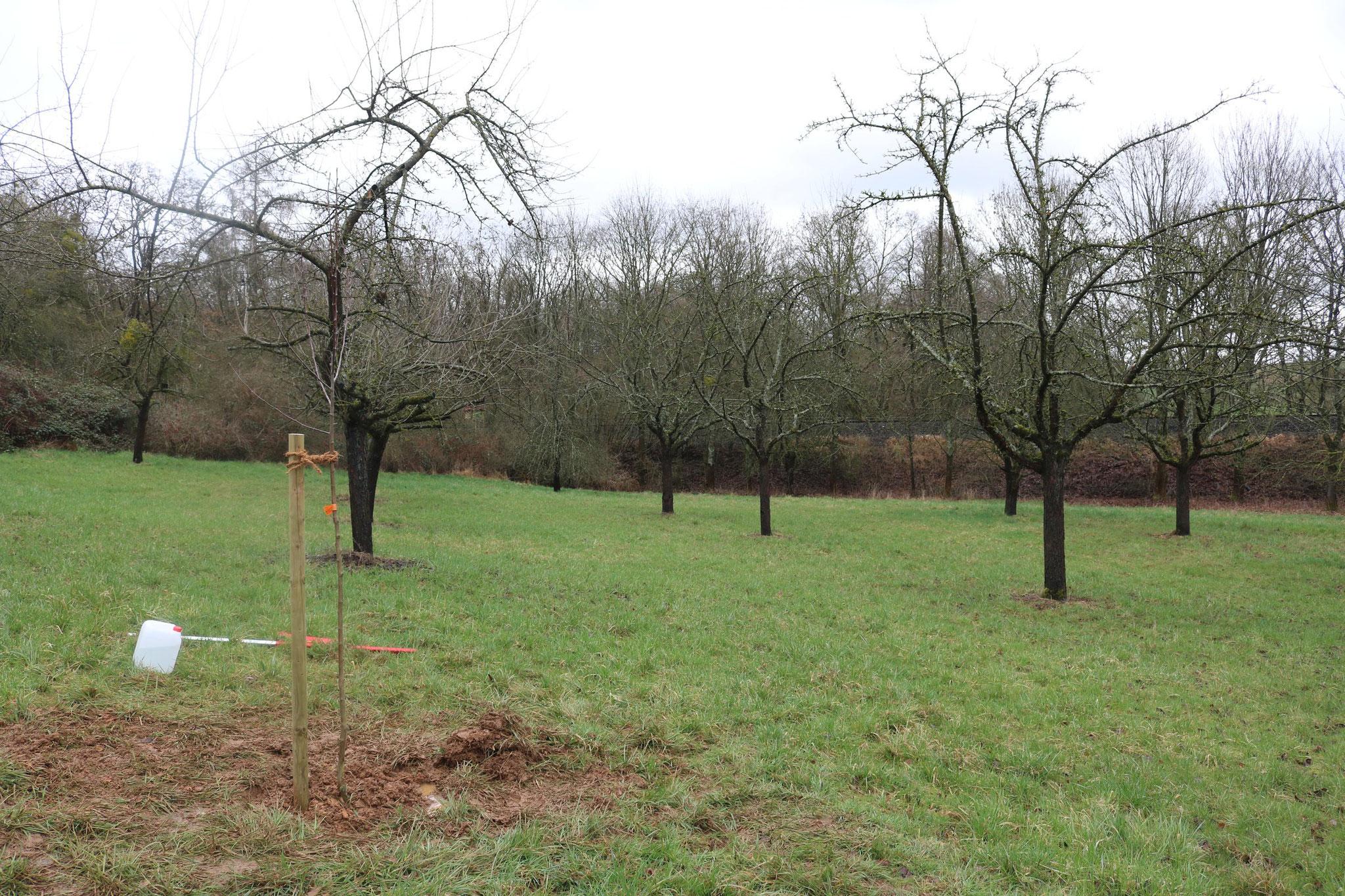Die frisch geplanzten Jungbäume düfen nun auf unserer Streuobstwiese wachsen