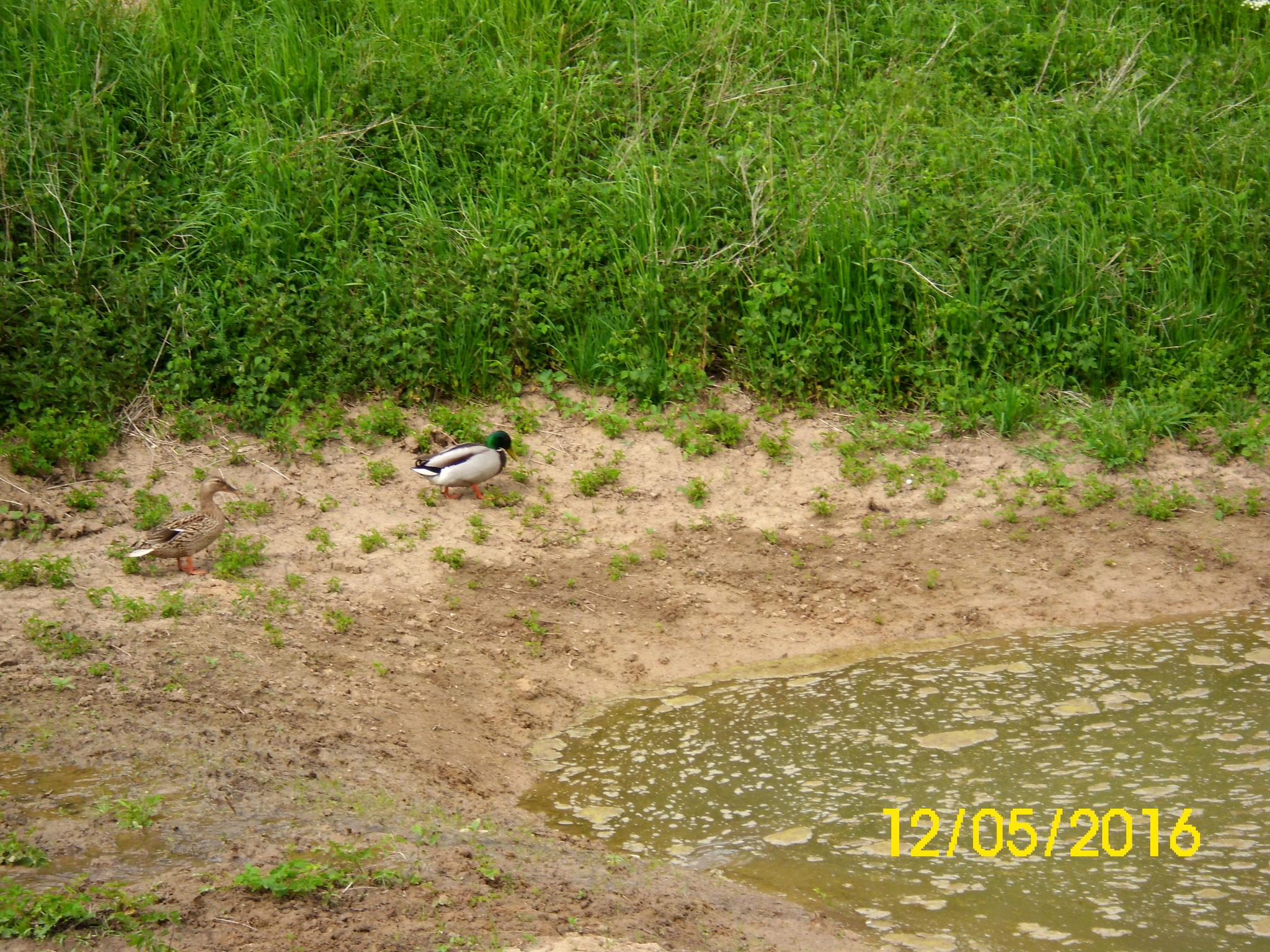 Ein Stockentenpaar hat sich eingefunden, sowie die ersten Libellen (Großer Blaufeil) sind zu sehen.