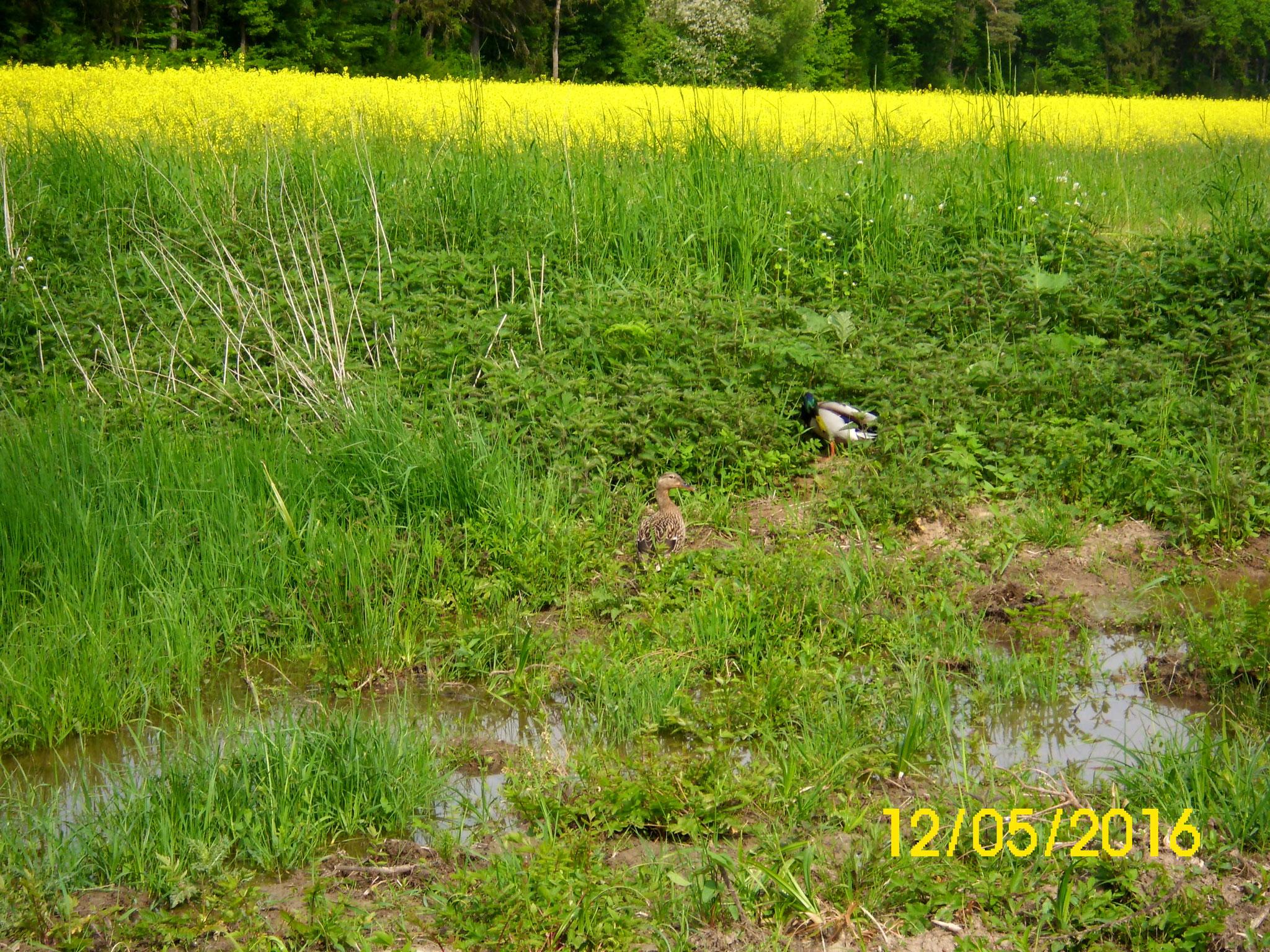 Da der untere Teich überläuft, hat sich dort eine Sumpfzone entwickelt.
