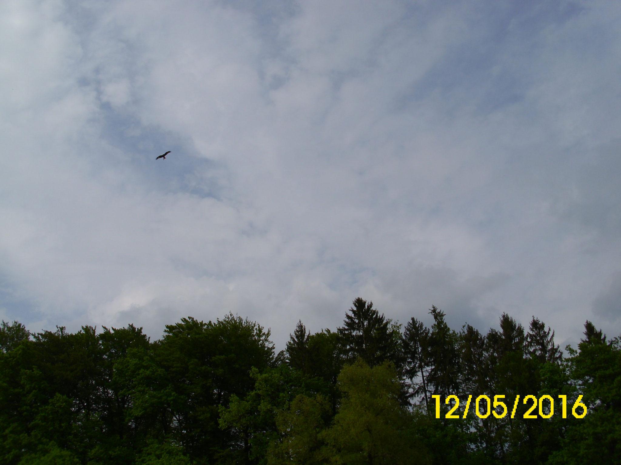 Am Himmel zieht der Rotmilan seine Kreise.
