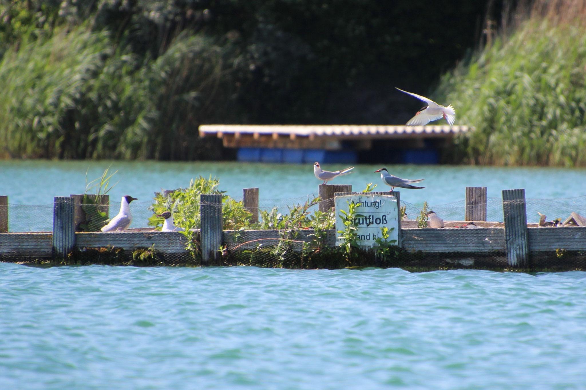Die besorgten Altvögel kehrten sofort, nachdem wir genügend Abstand gewonnen hatten, wieder auf das Floß zurück. (© B. Mayer)
