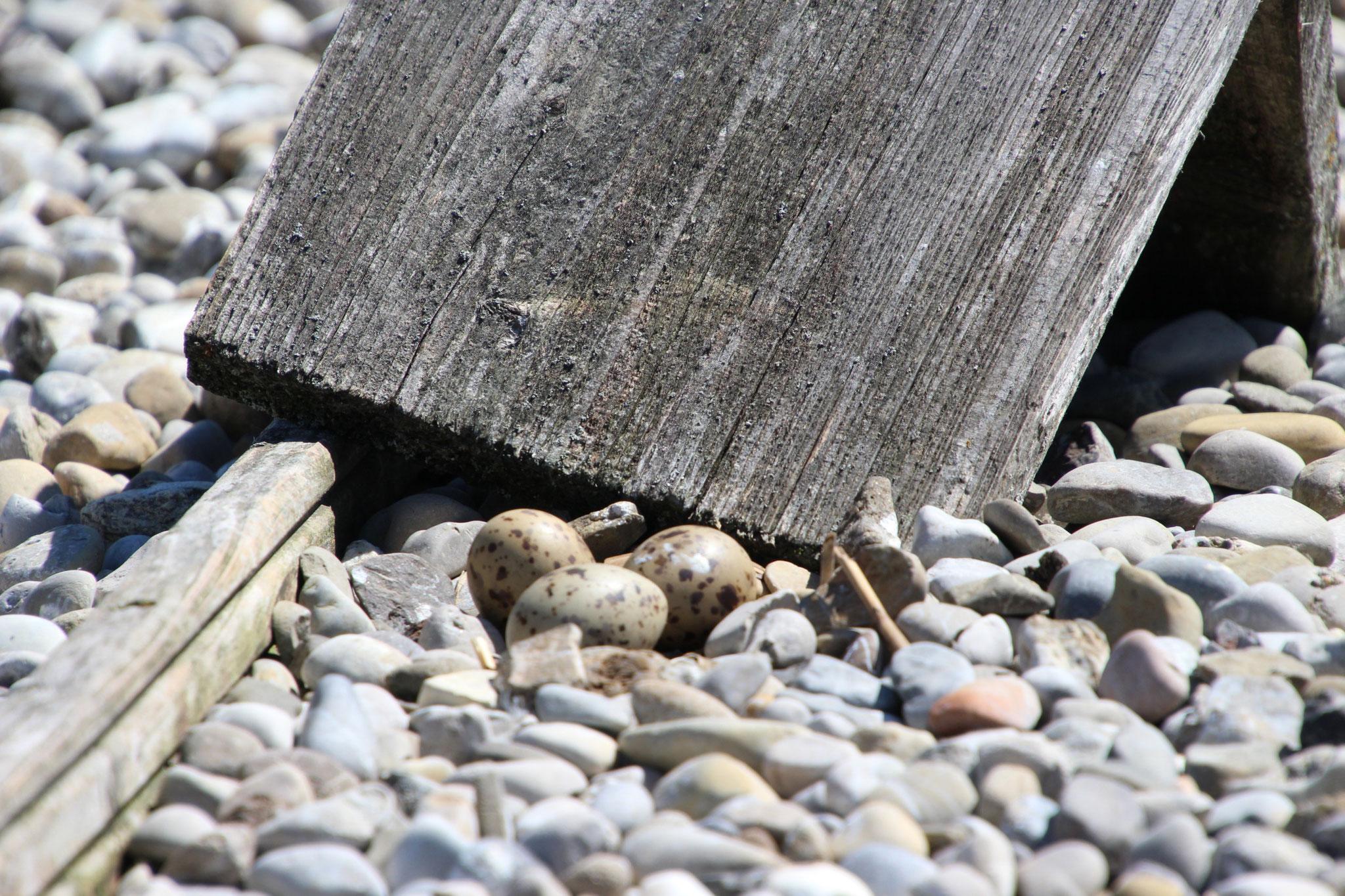 ... die gut getarnten Gelege der Flussseeschwalben auf dem Kies zu finden. (© B. Mayer)