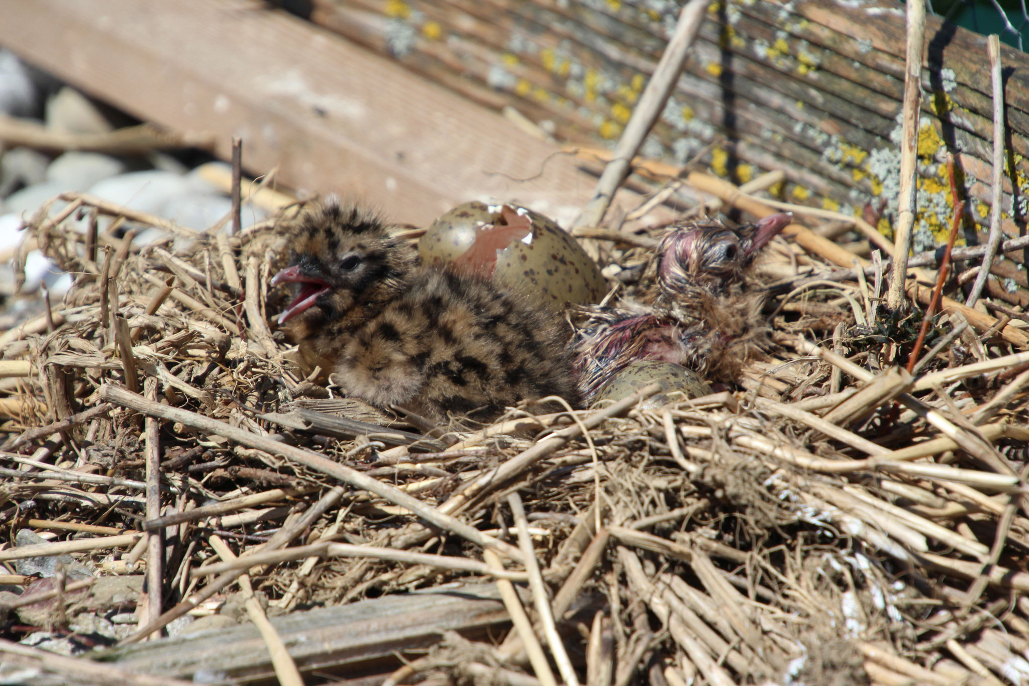 ... und eine kleine Lachmöwe aus ihren Eiern. (© B. Mayer)