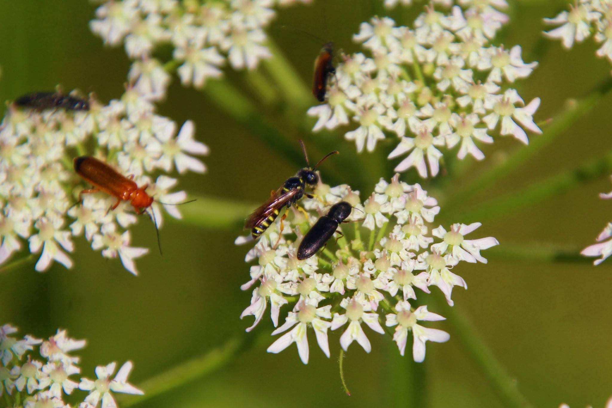 Doldenblütler bieten Insekten bequeme Landeflächen und kurze Wege von Blüte zu Blüte. (Foto: B.Mayer)