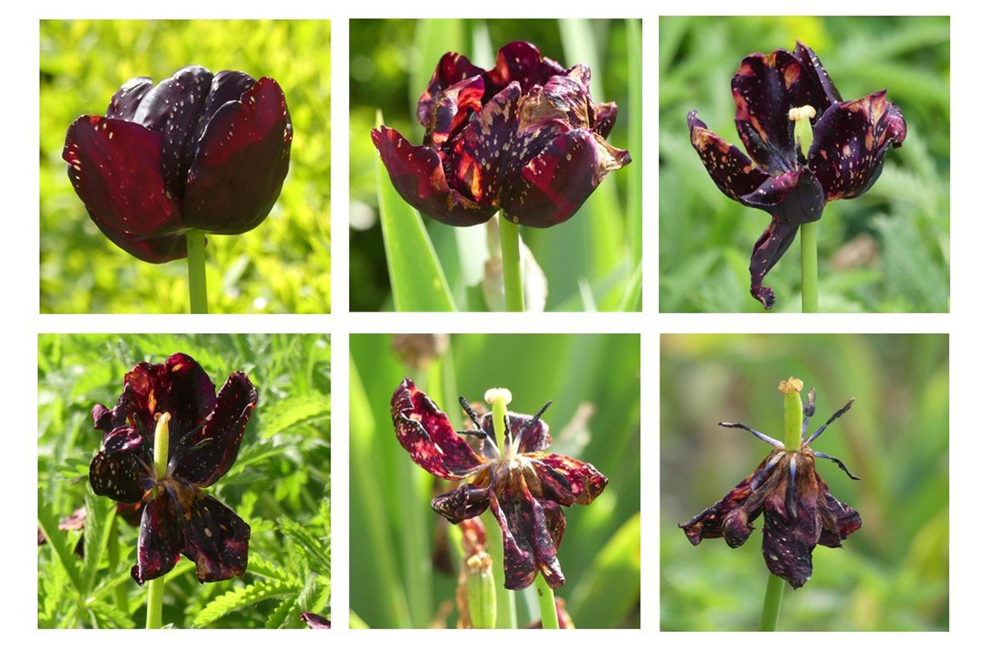 Tulpe - Foto: Gesine Schwerdtfeger