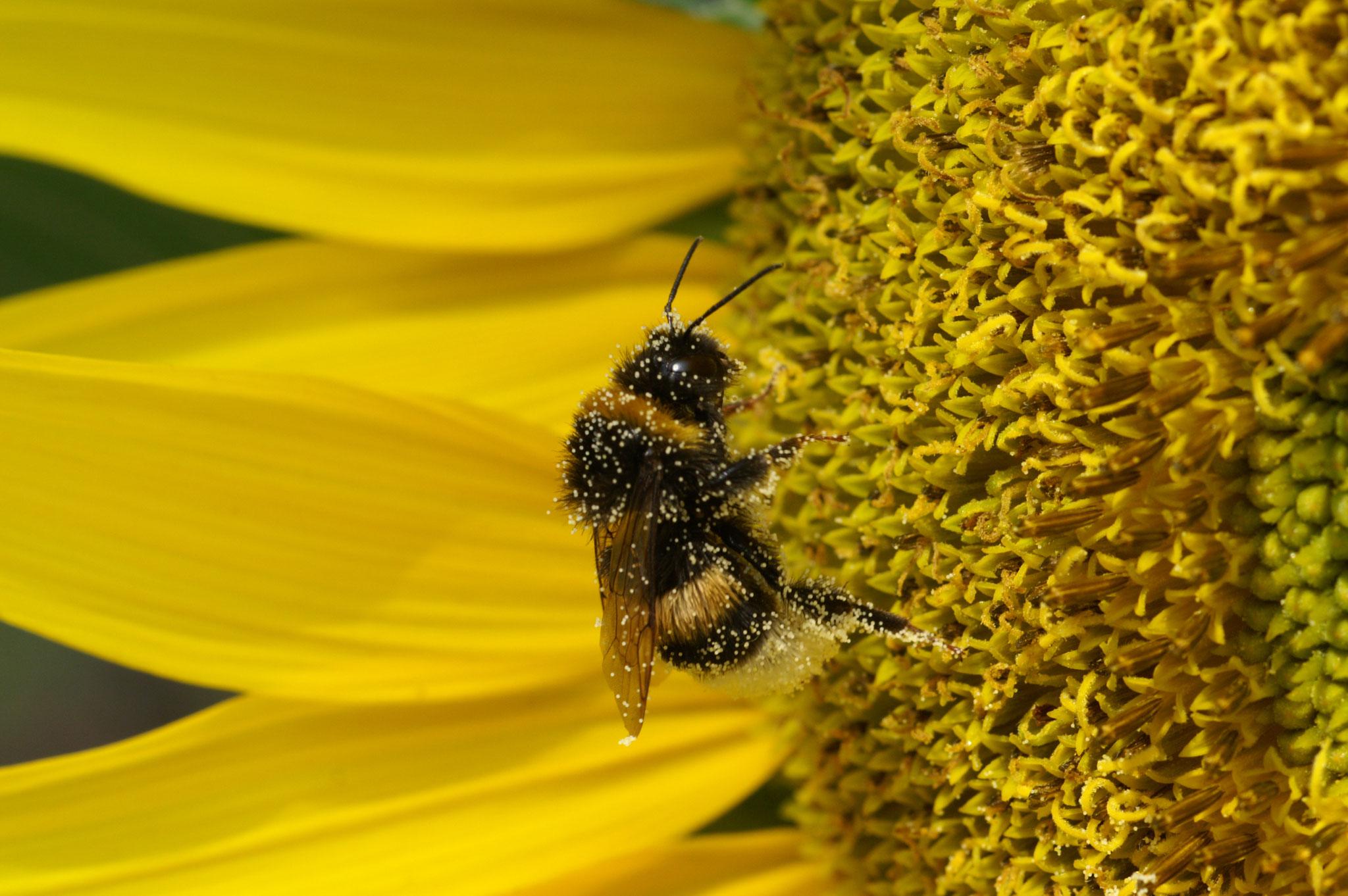 39 Biene auf Sonnenblume - Foto: Hans Dieckmeyer