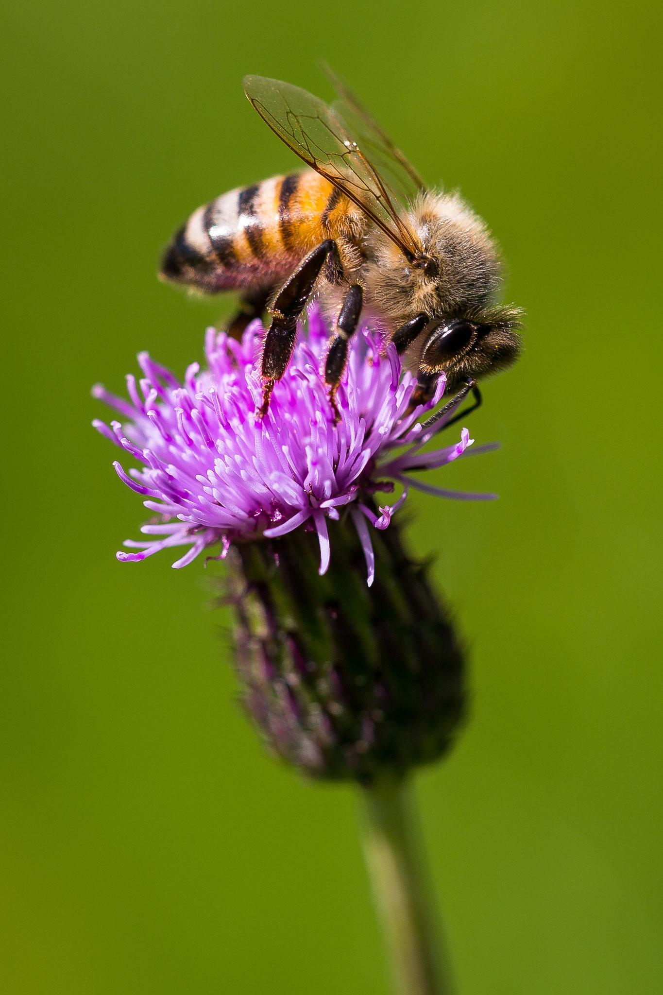 44 Honigbiene auf Kratzdistel - Foto: Holger Tobuschat