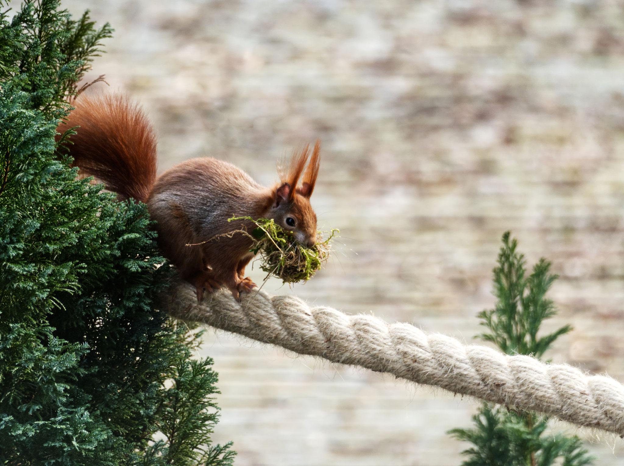 Eichhörnchen, Hausbruch - Foto: Dagmar Esfandiari