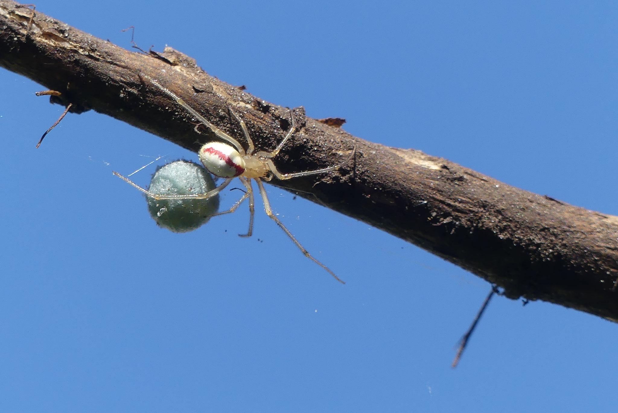 Spinne mit Kokon in der Komposttonne - Foto: Gesine Schwerdtfeger