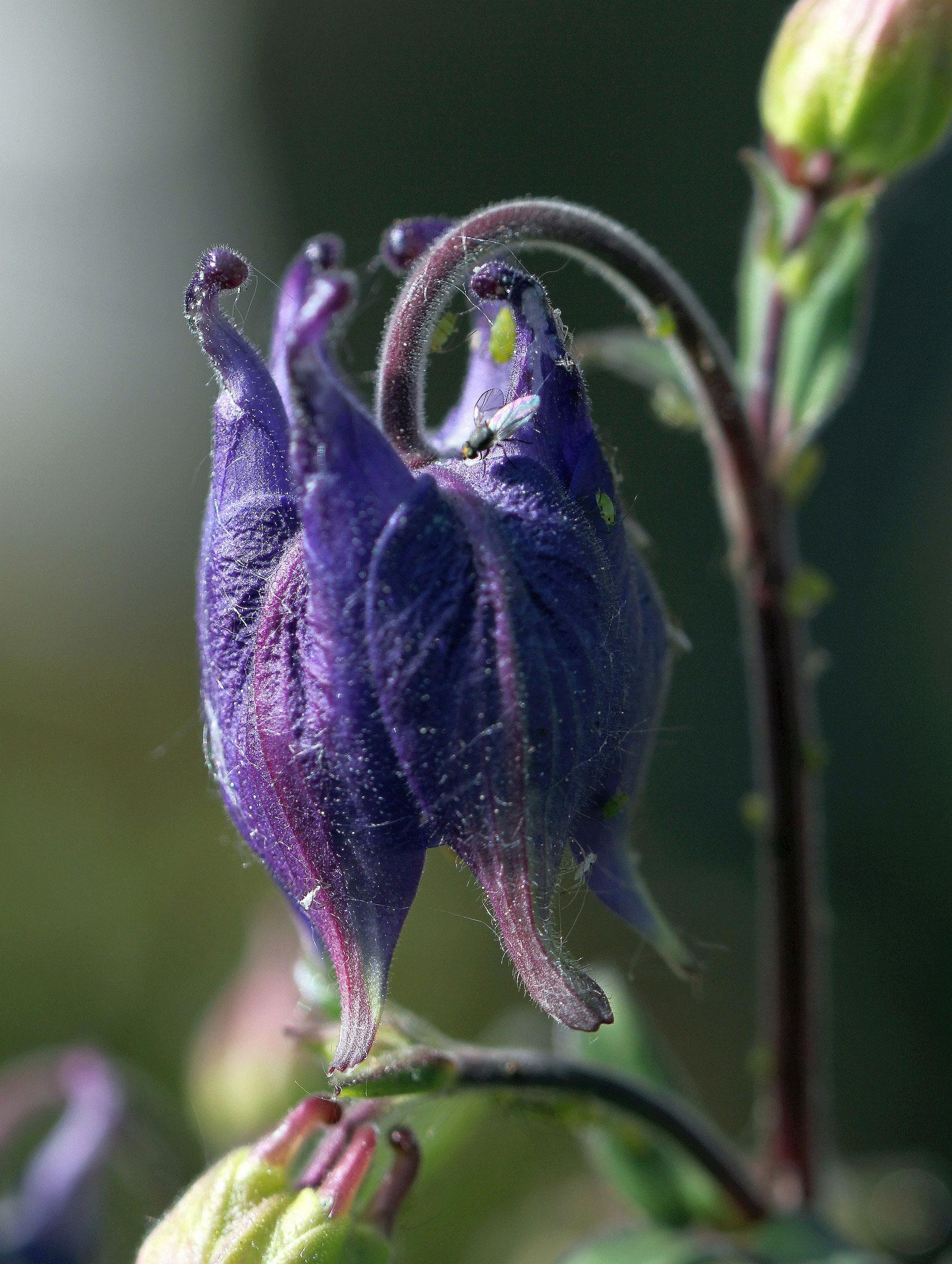 Akelei im Garten - Foto: Volker Svensson