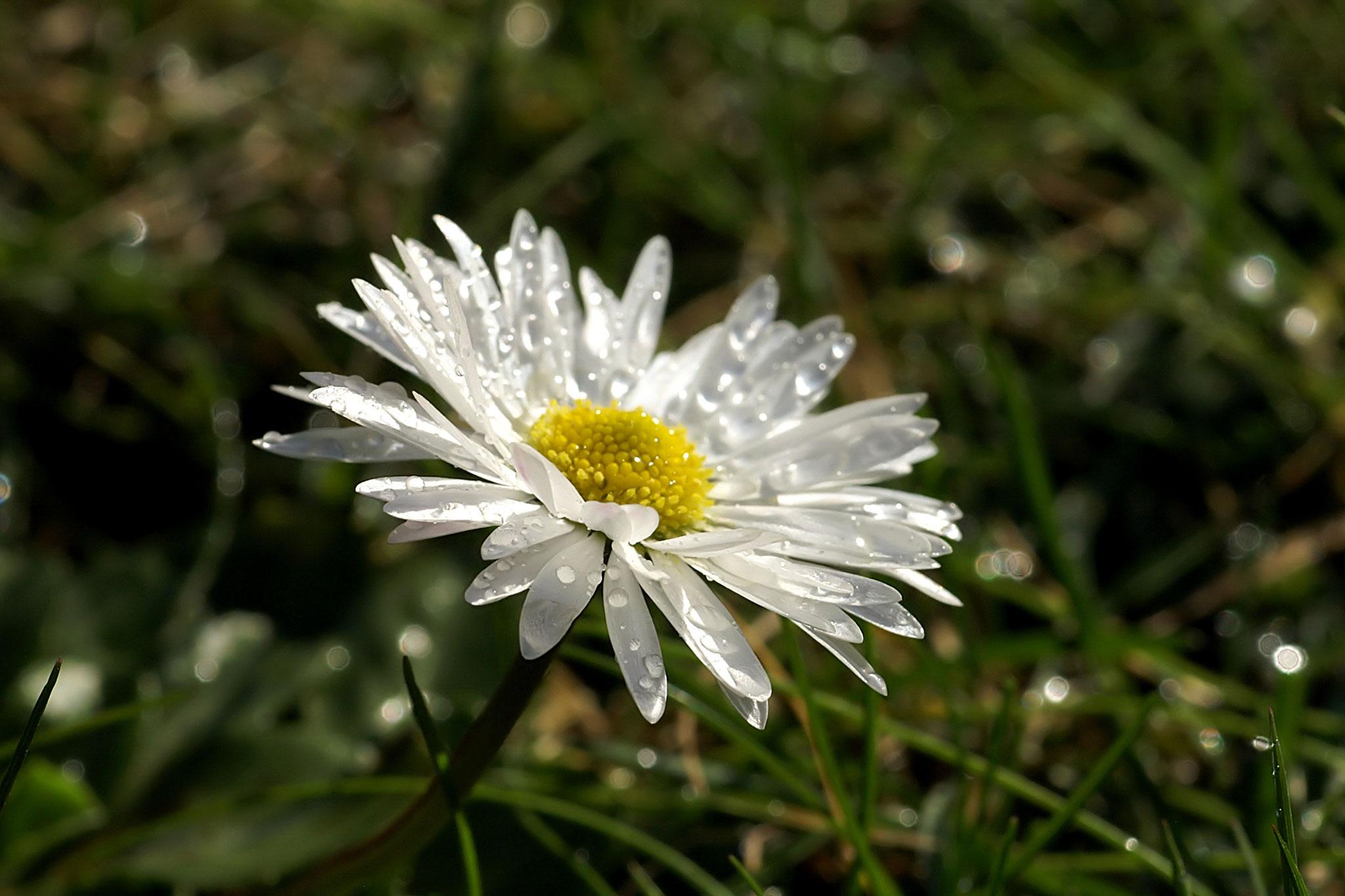 8 Gänseblümchen - Foto: Hans Dieckmeyer