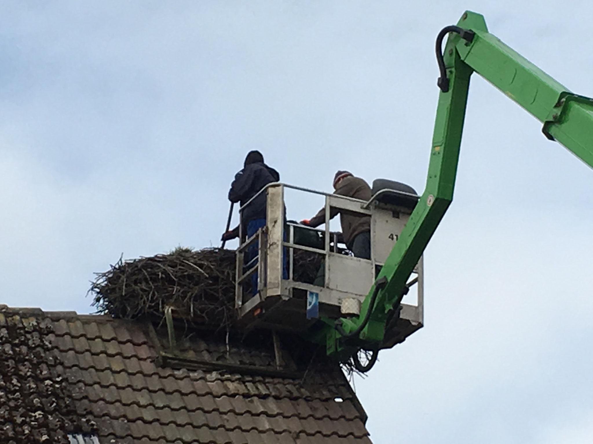 Groß Lüben: Aufgrund der großen Ausmaße dieses Nestes musste eine ca 20 cm hohe Schicht abgetragen werden.