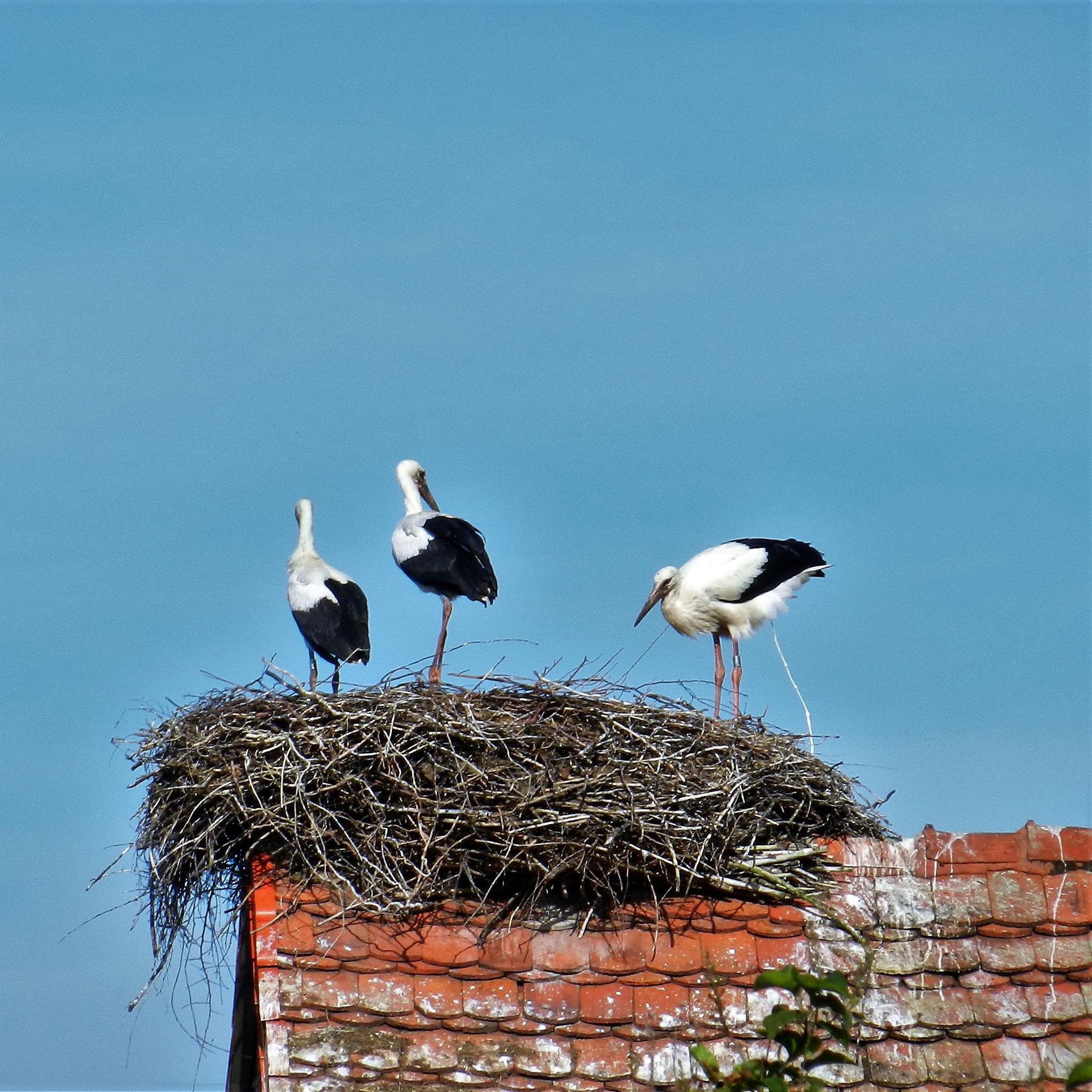 Störche wissen, wie sie ihr Nest sauber halten