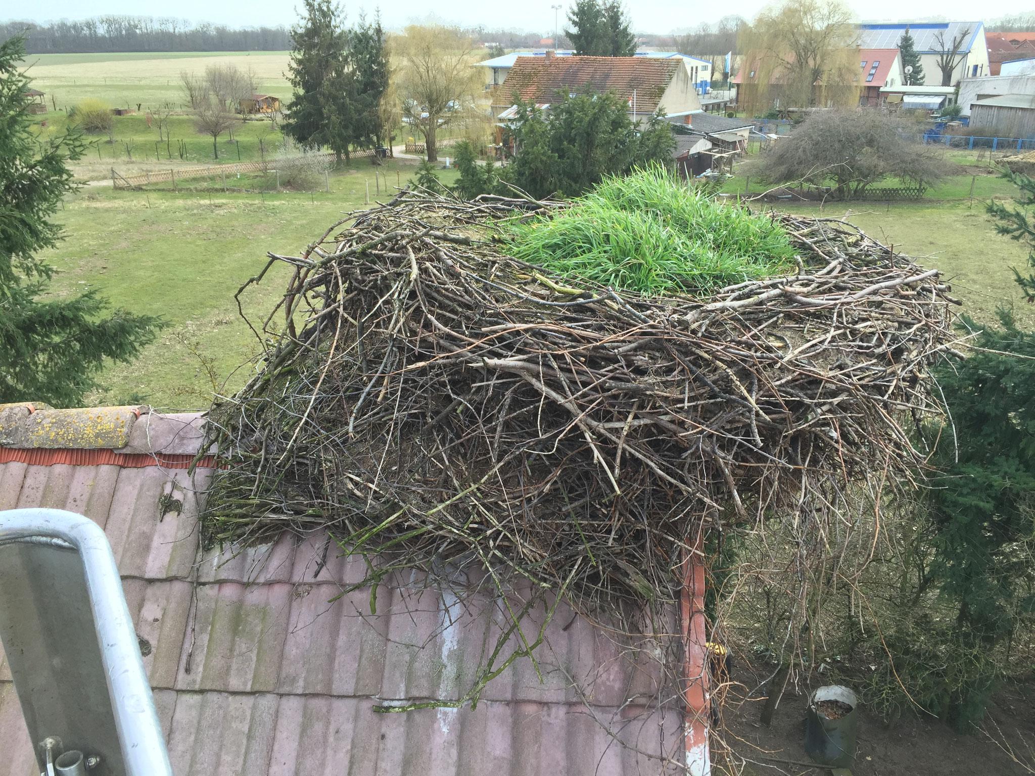 Ein Nest auf Buschvasen mit Wildbewuchs - VORHER. Hier ist deutlich sichtbar, dass Störche eine Tendenz haben, Nistmaterial gegen den Wind anzubauen und den Schwerpunkt ihres Nestes entsprechend auszurichten.