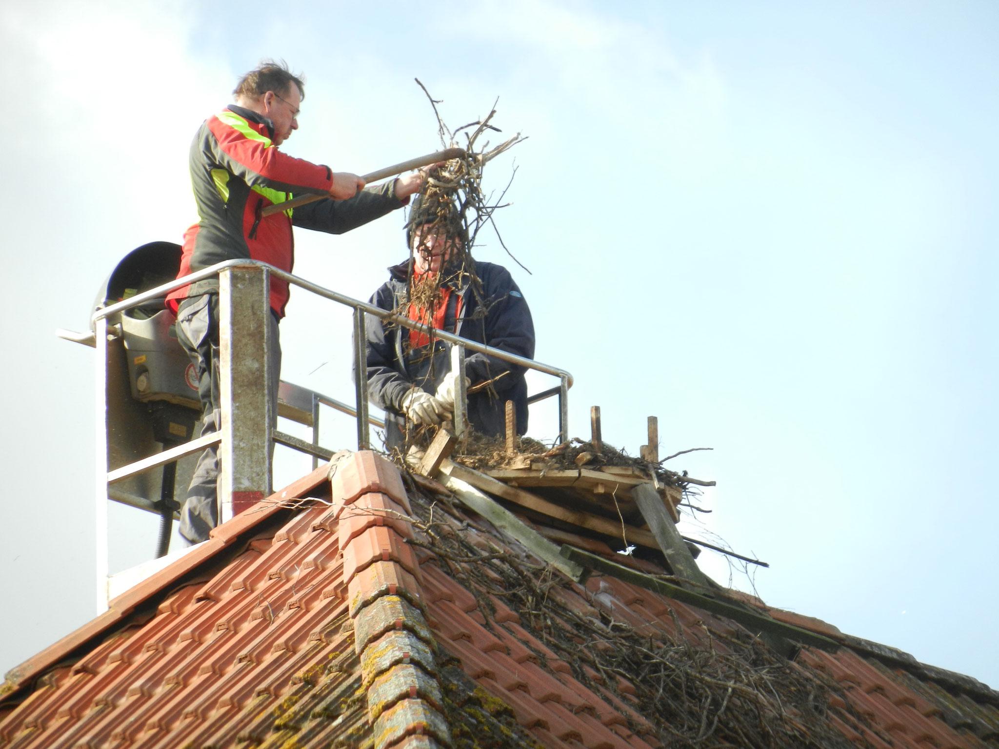 Das alte Nestmaterial wird gründlich abgetragen ...