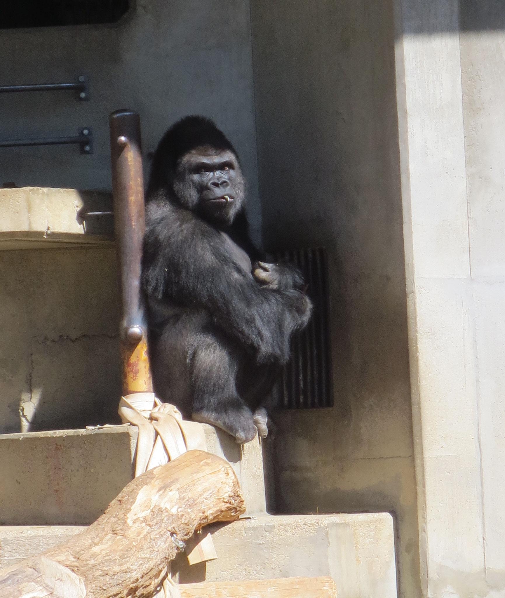 Gorilla Shabani ゴリラ シャバーニ