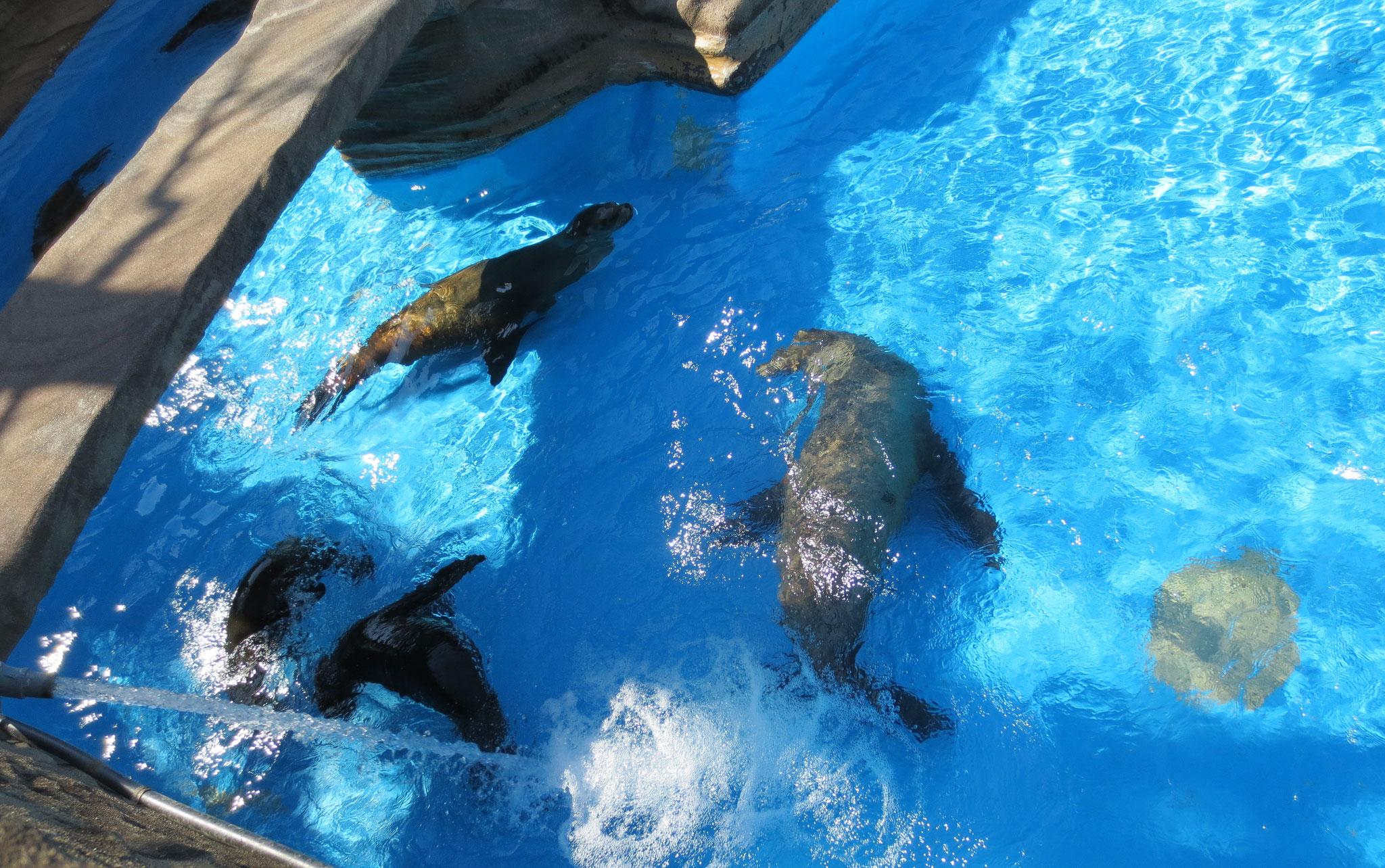 Fur seal オットセイ