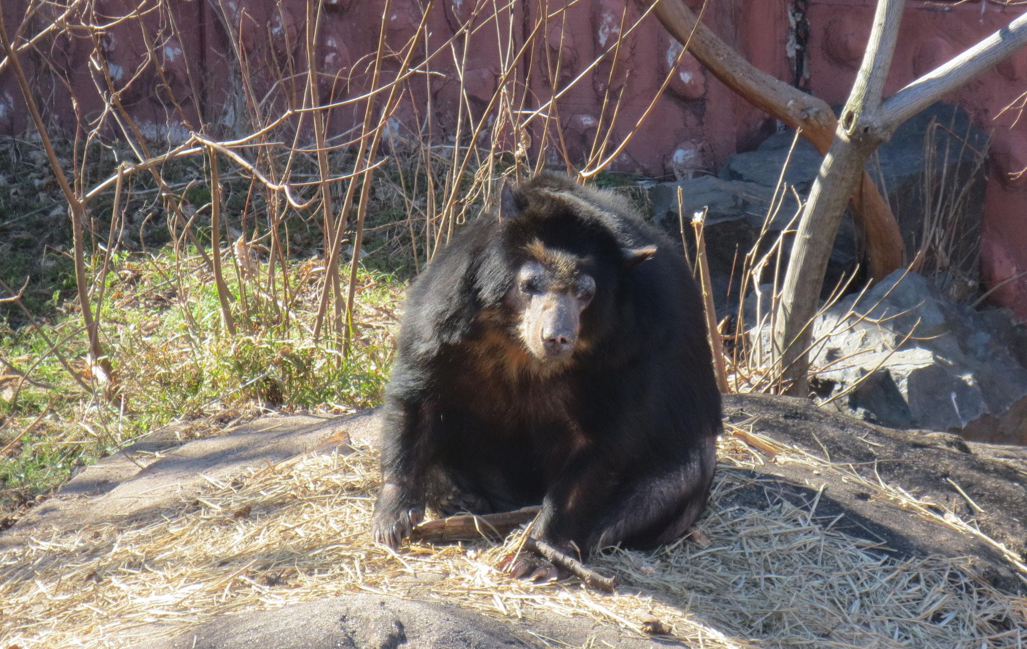 Bear クマ