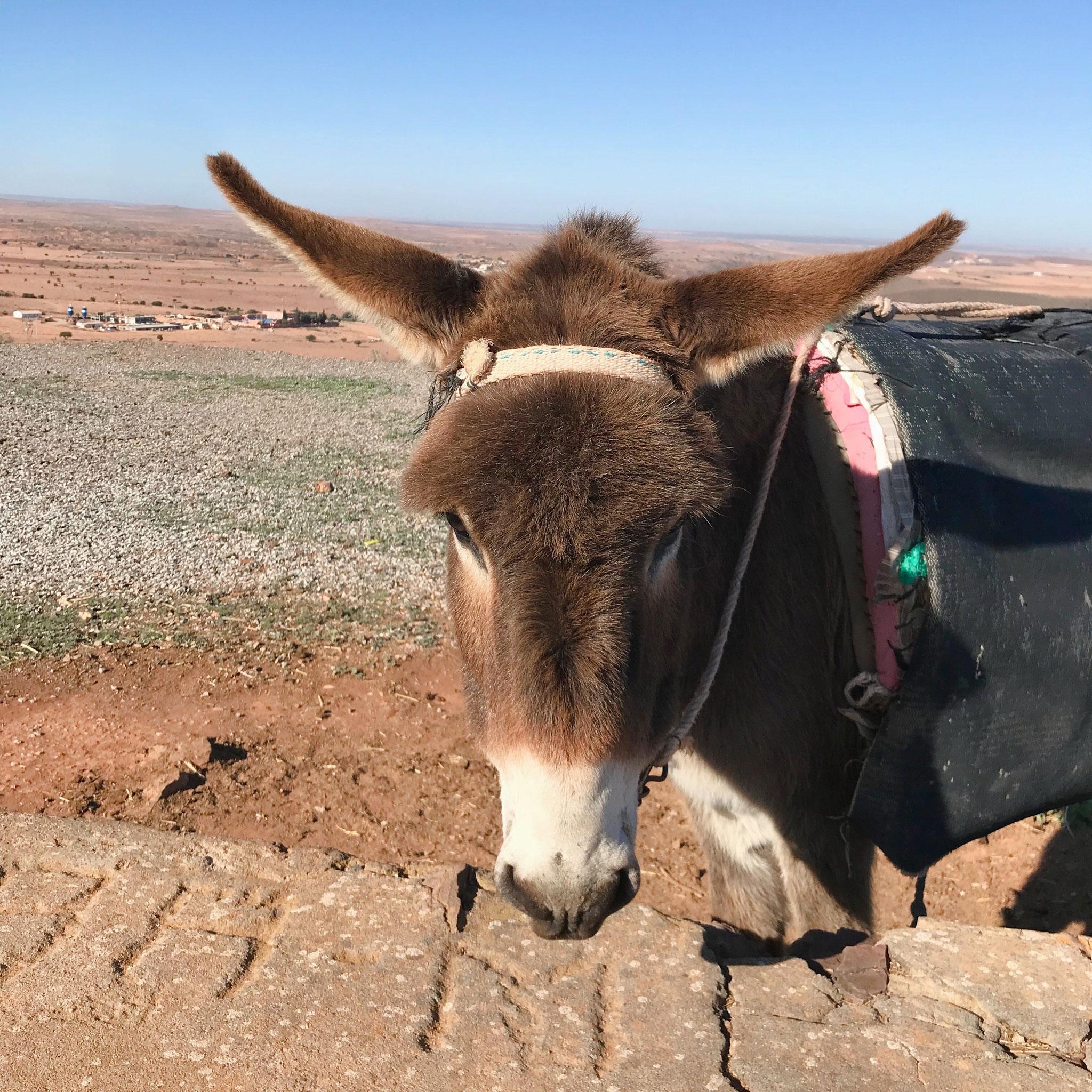 Typisches marokanisches Vortbewegungsmittel: Der Esel
