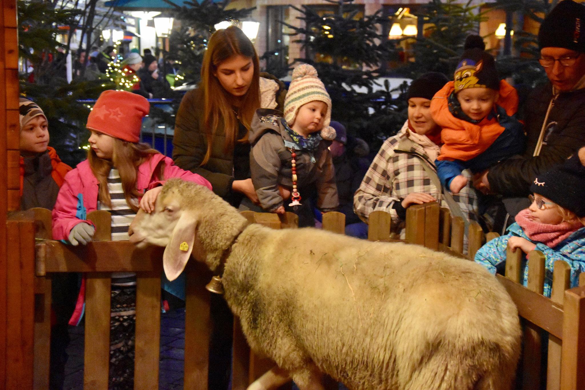 Schafe zum Anfassen vom Franz