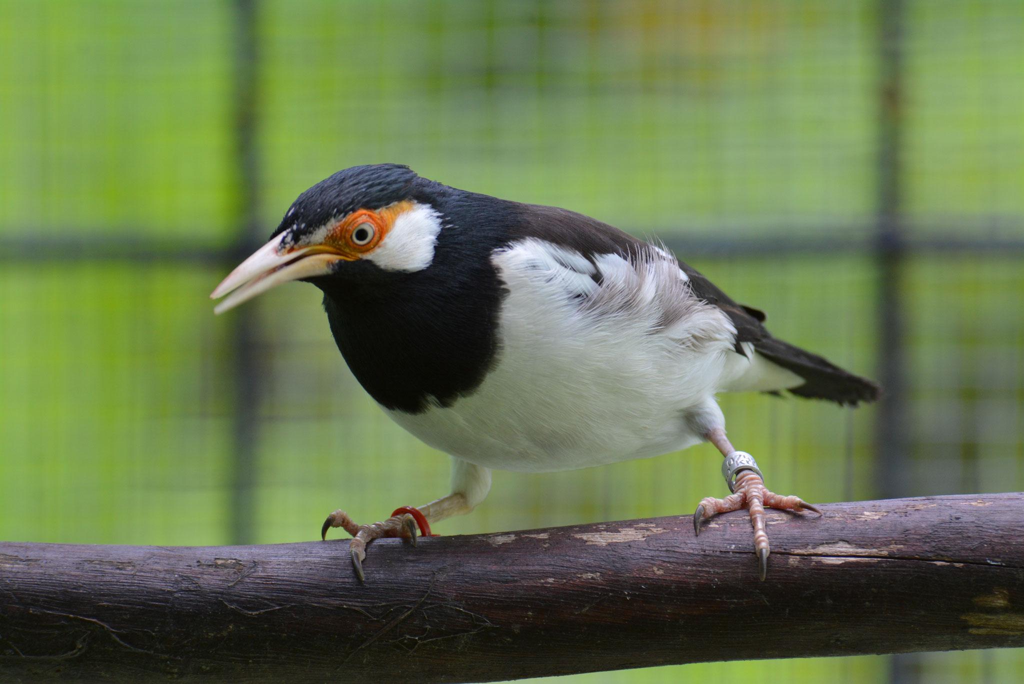 Javan Pied Starling
