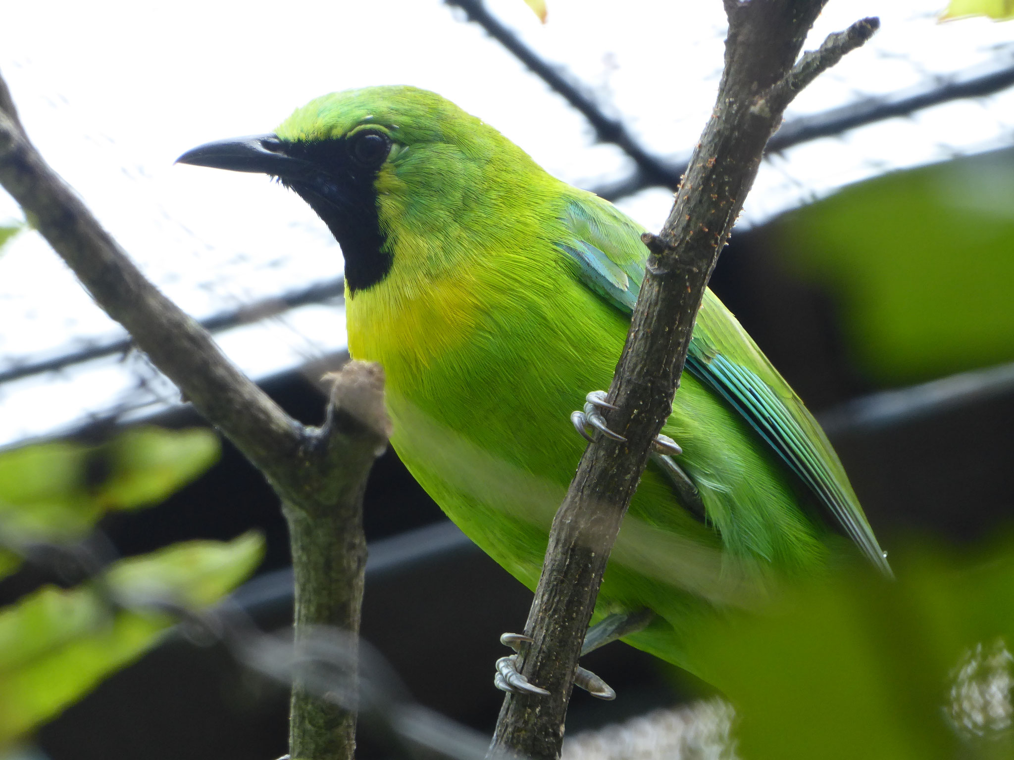 Javan Leafbird (Male)