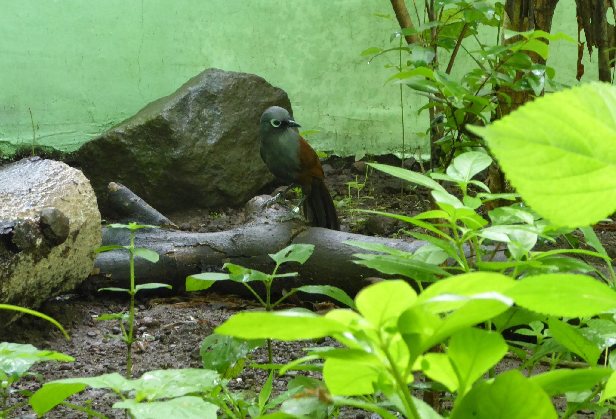 Sunda Laughingthrush