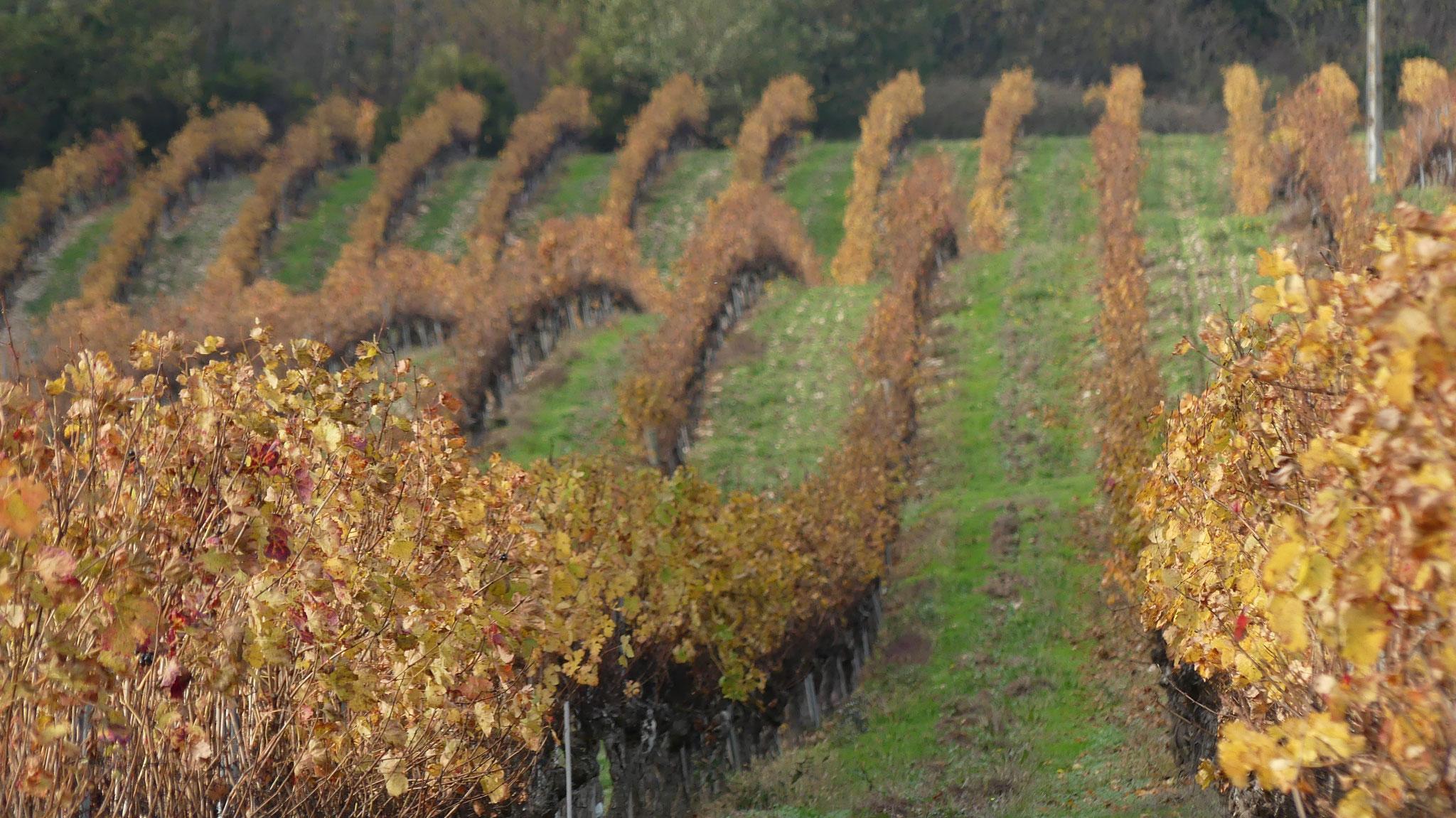 Le vignoble de Técou par Andrée Czerny