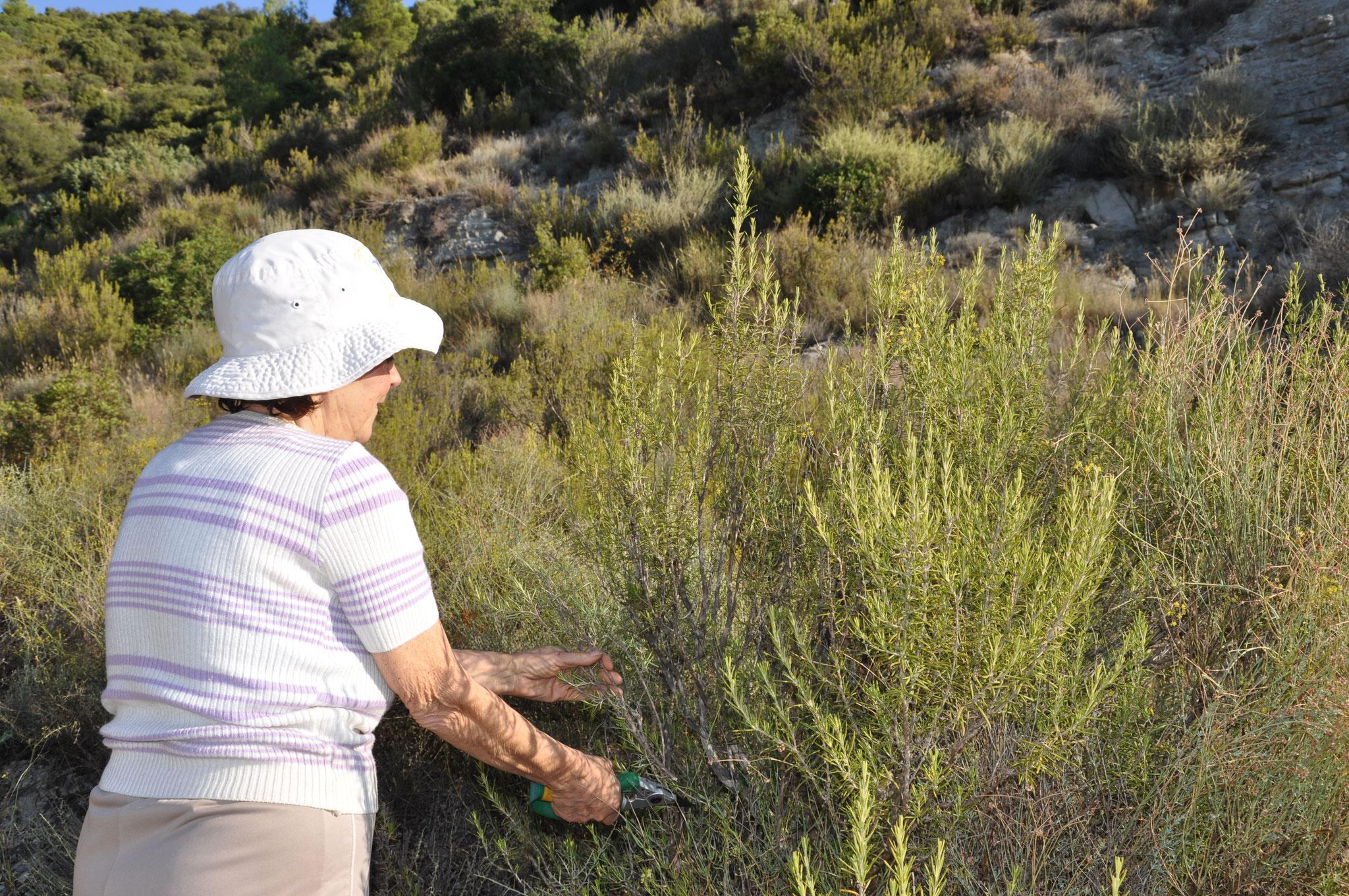 1º- Cueillette soignée et raisonnée, pour une gestion durable de la garrigue.