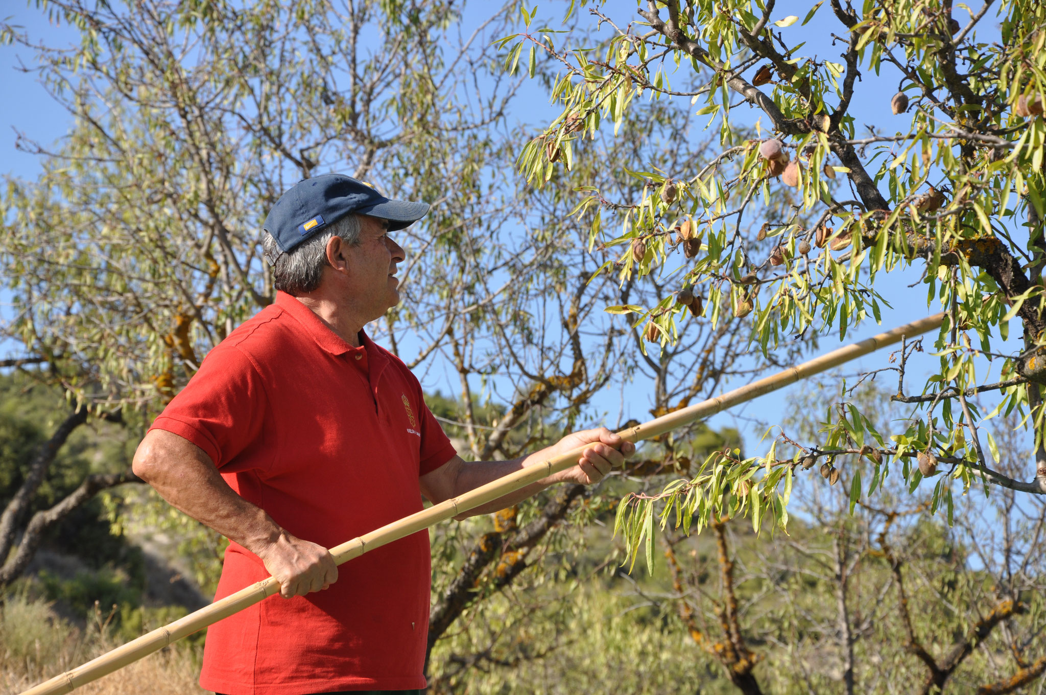 1º Bis - Utilisation des cannes creuses d'autrefois pour cajoler l'arbre par un contact chaleureux et harmonieux.