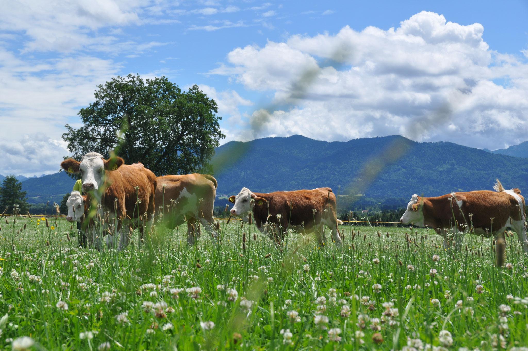 Unser Jungvieh auf einer saftigen Weide