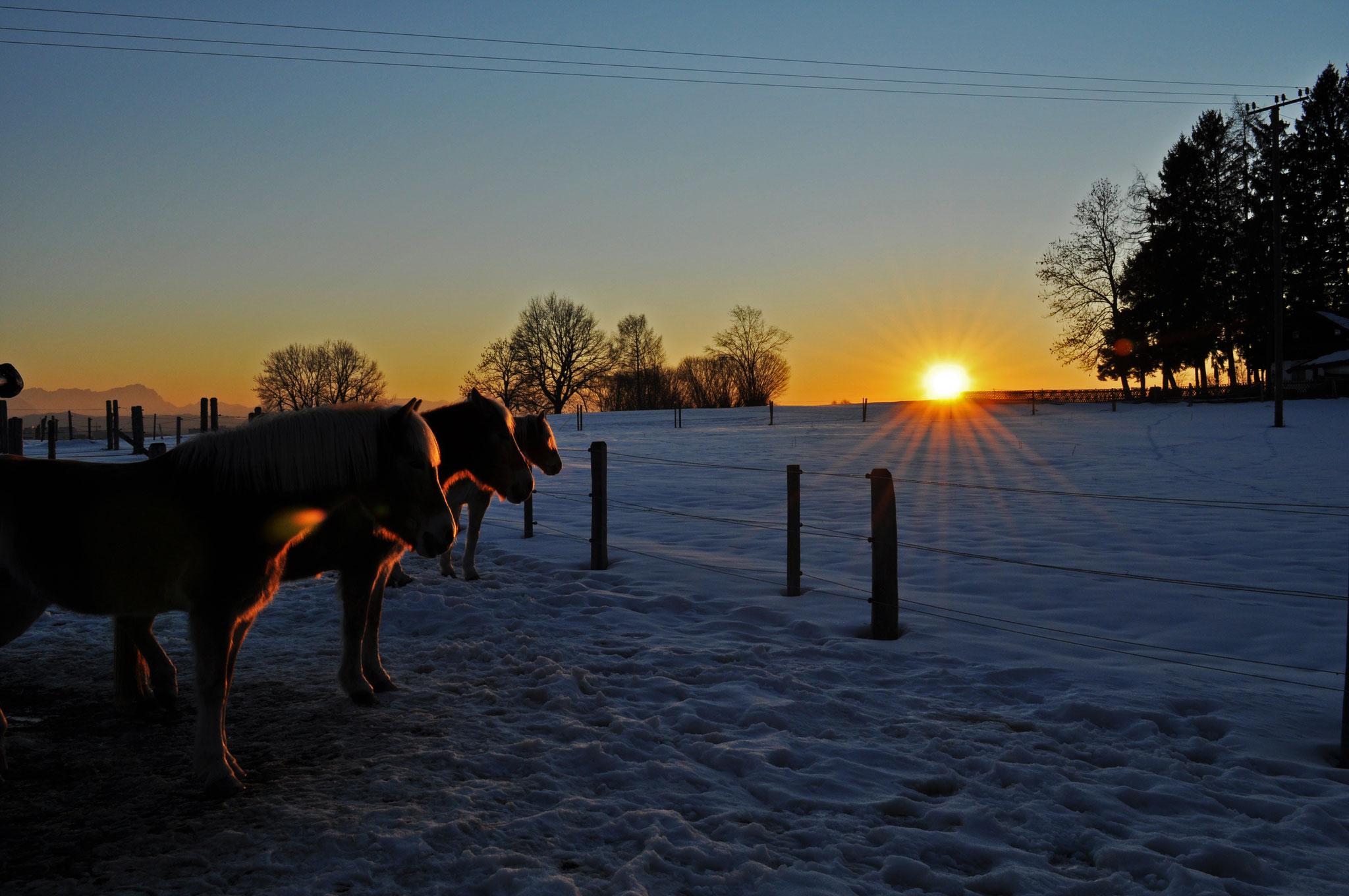 Unsere drei Haflinger in der Abendsonne