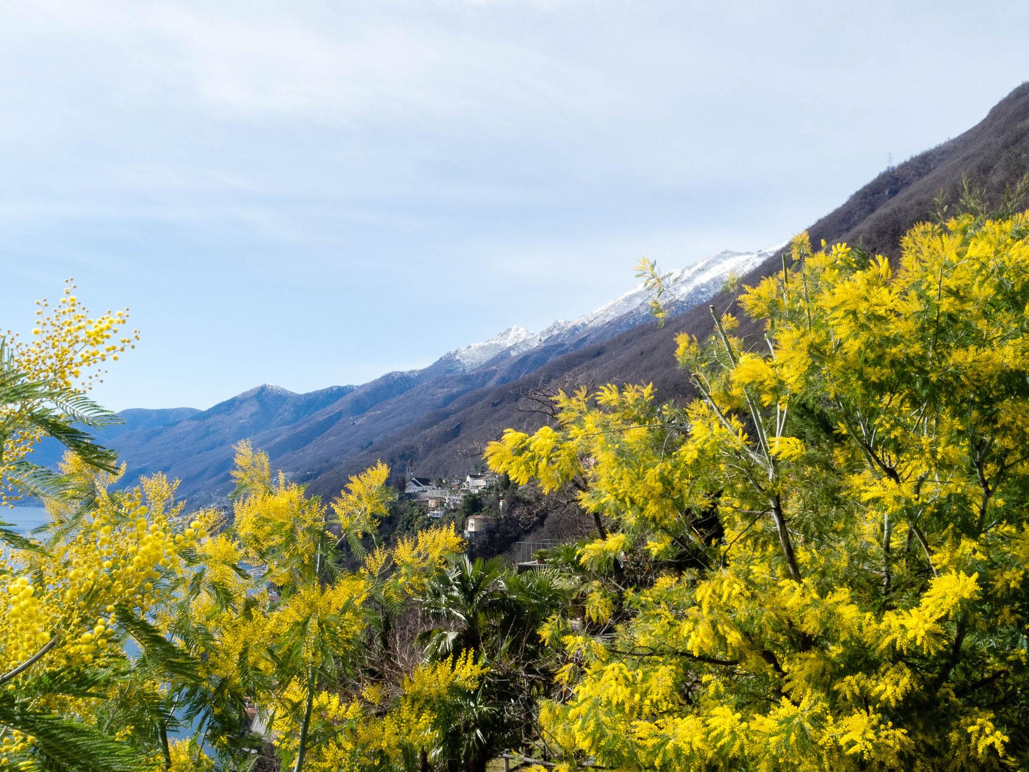 Frühling mit Mimosenblüte im Tessin
