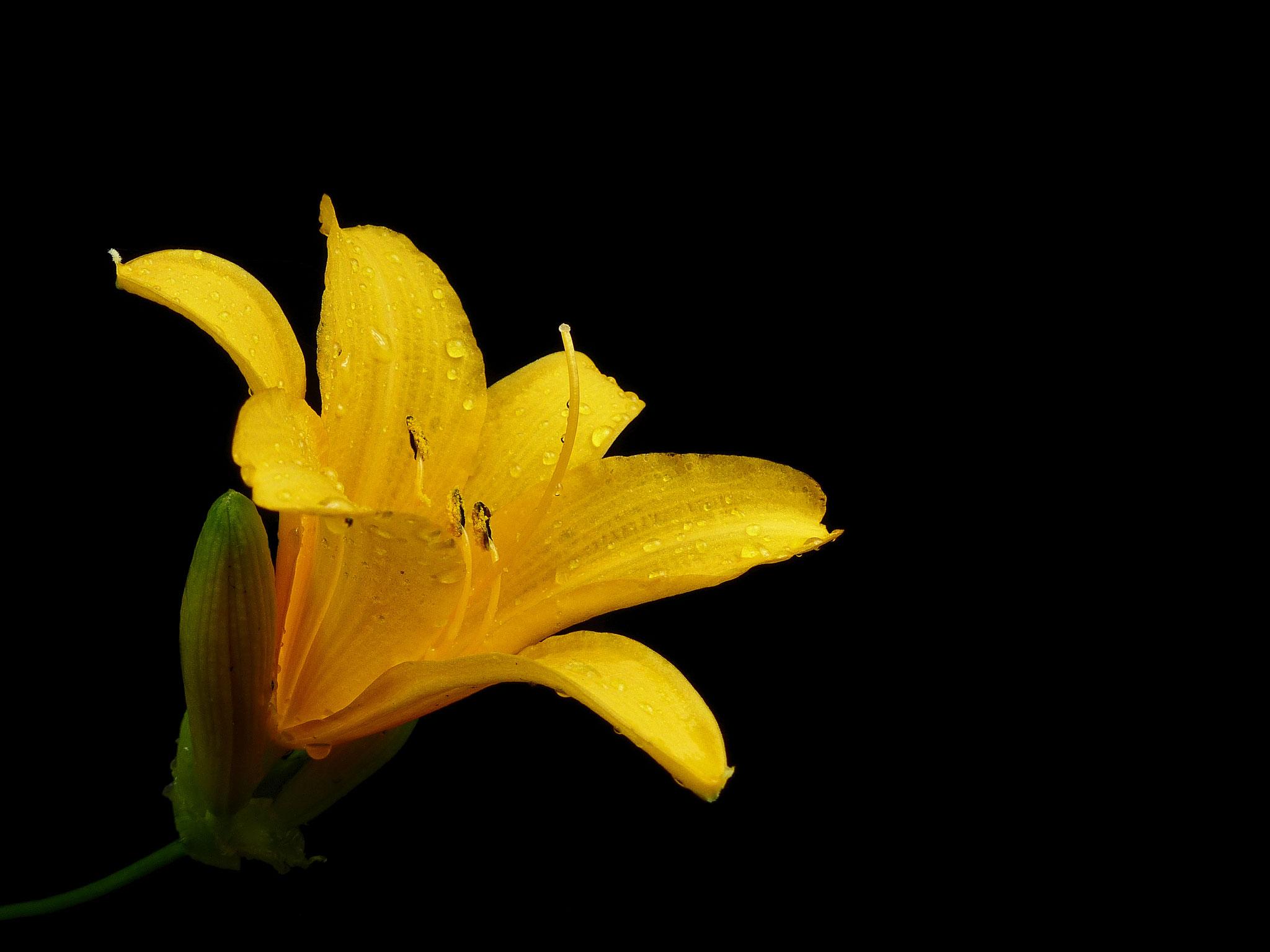 Hemerocallis sp. - Kleinblütige Spezies aus China