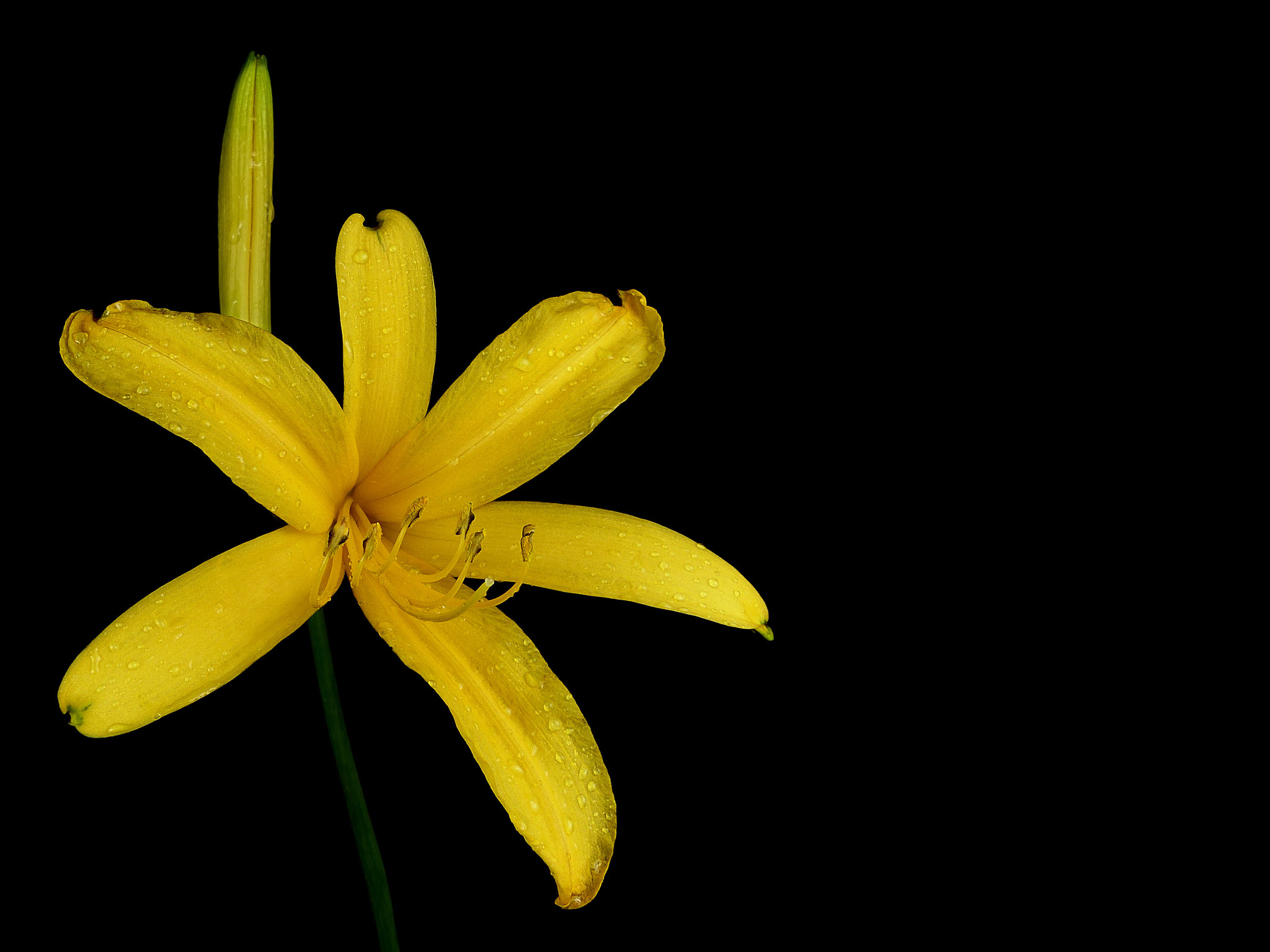 Hemerocallis middendorffii var. exaltata - Syn. Hemerocallis exaltata