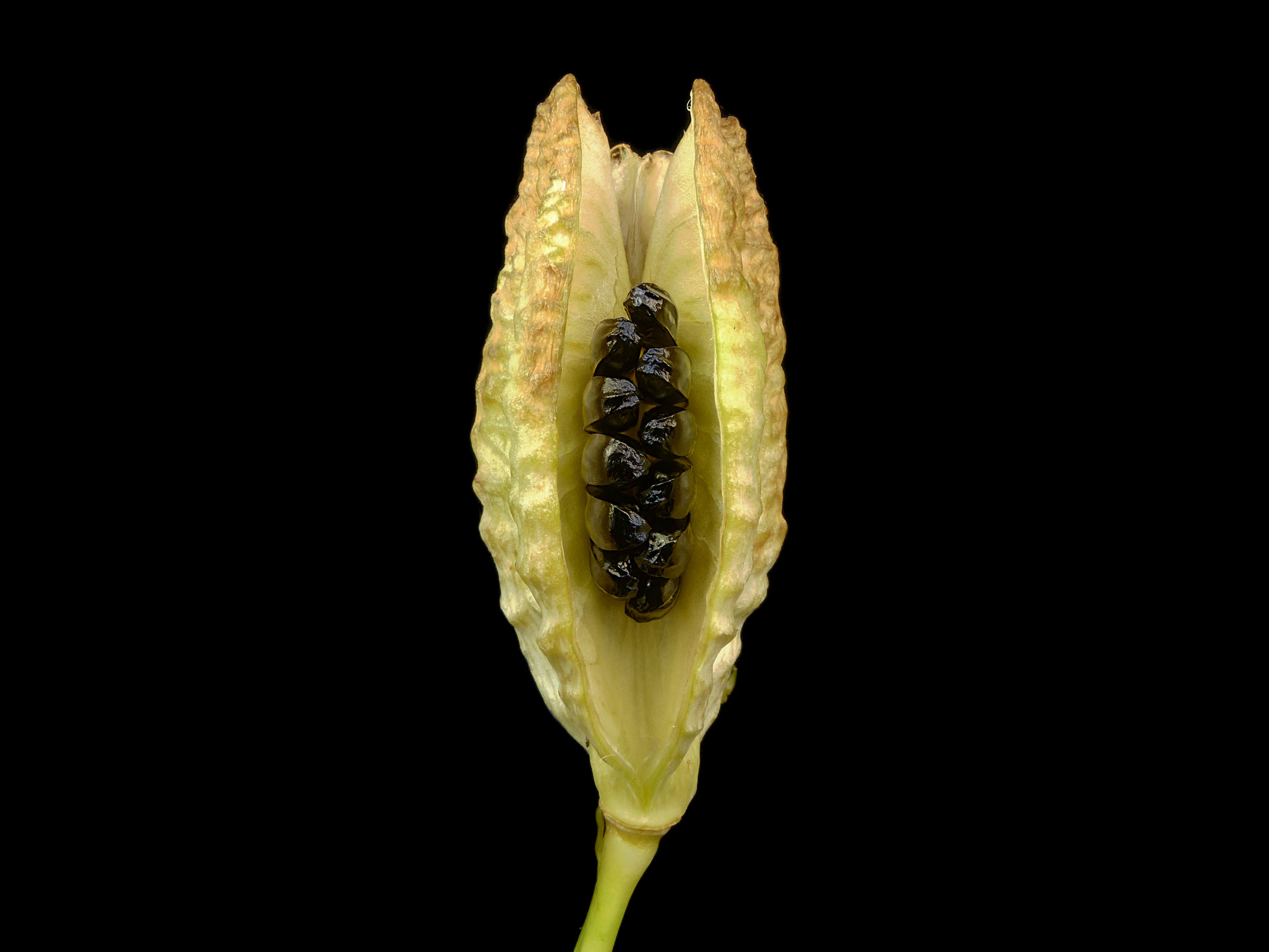 Hemerocallis littorea - Samenkapsel - Coastal Daylily - Seedpod