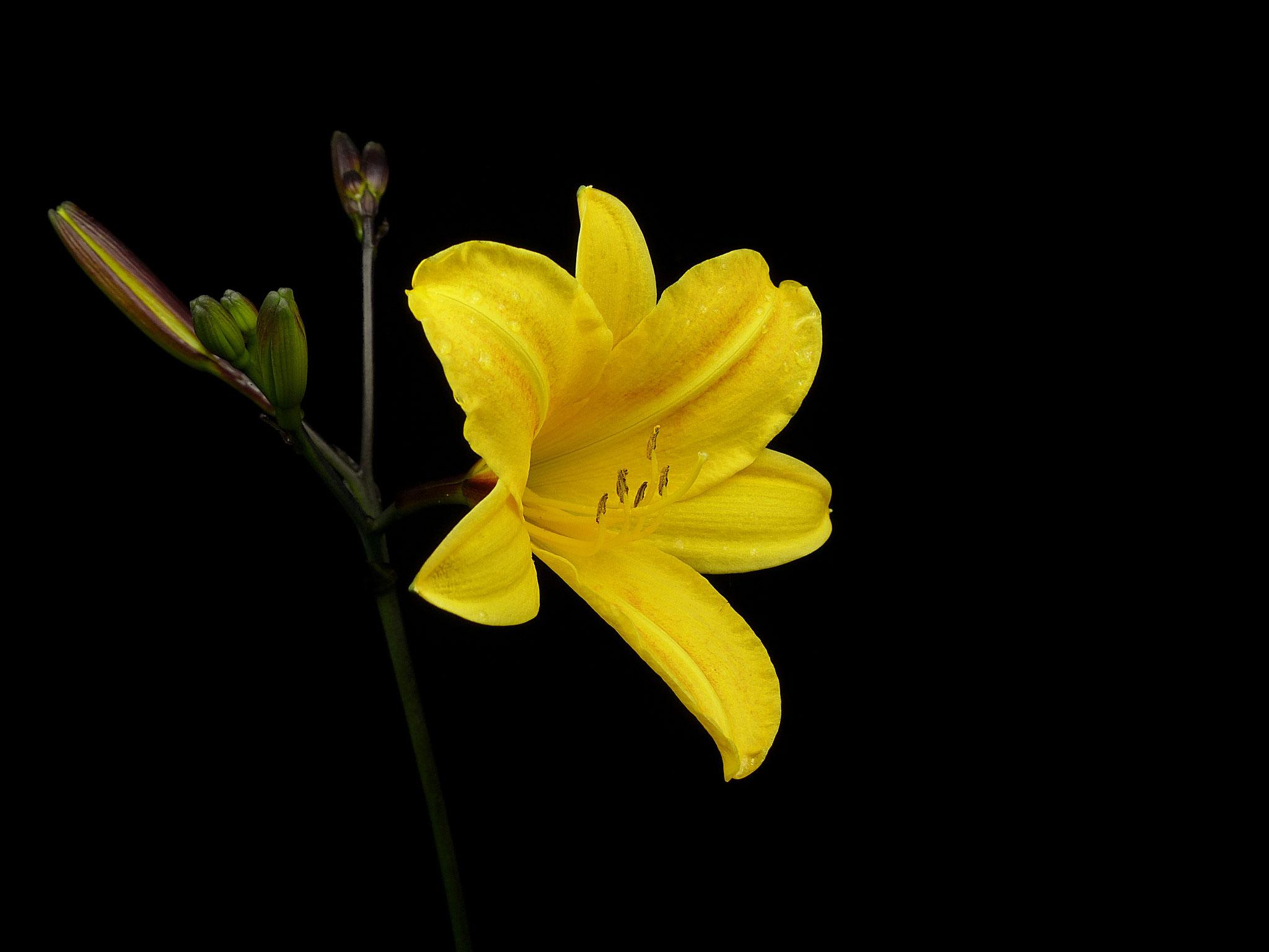 Hemerocallis Golden Chimes