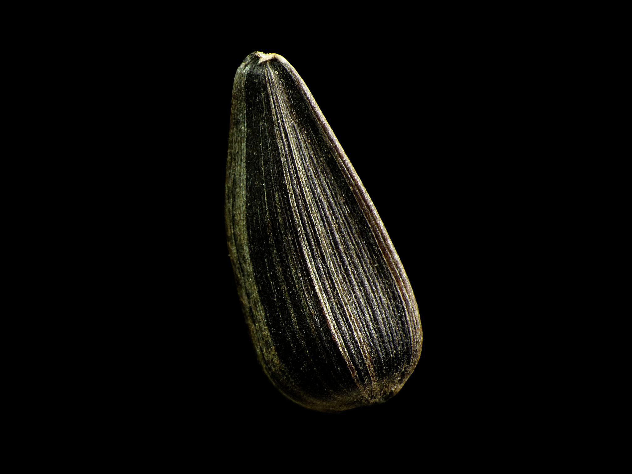 Helianthus annuus - Sonnenblume
