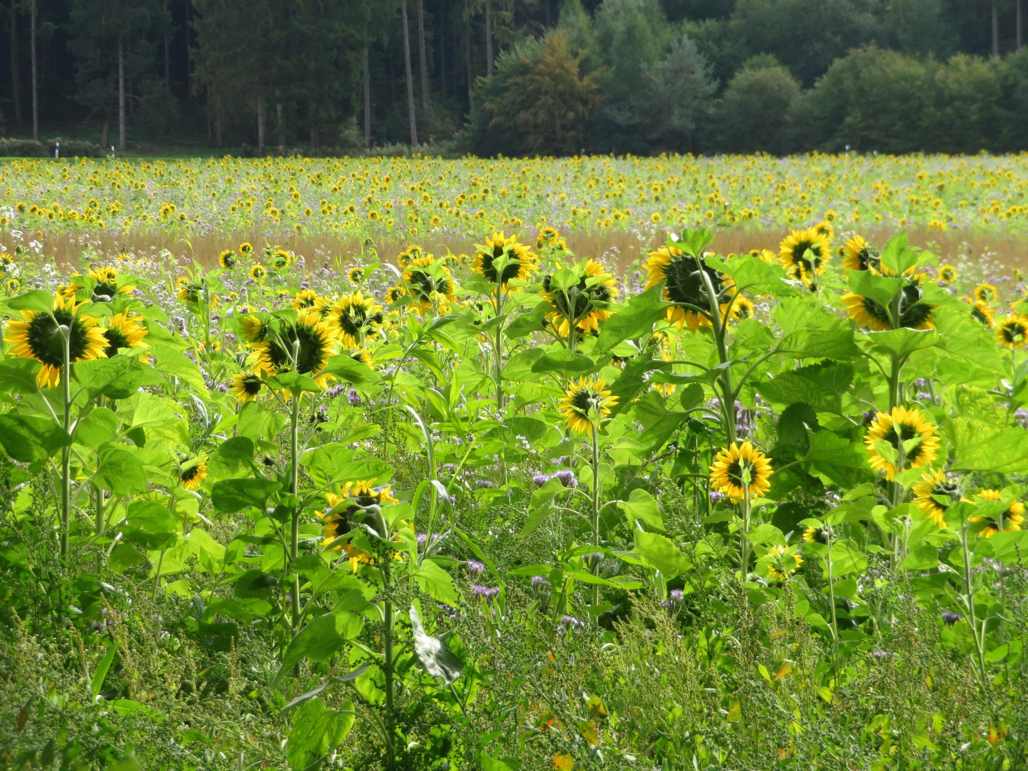 abgewandte Sonnenblumen