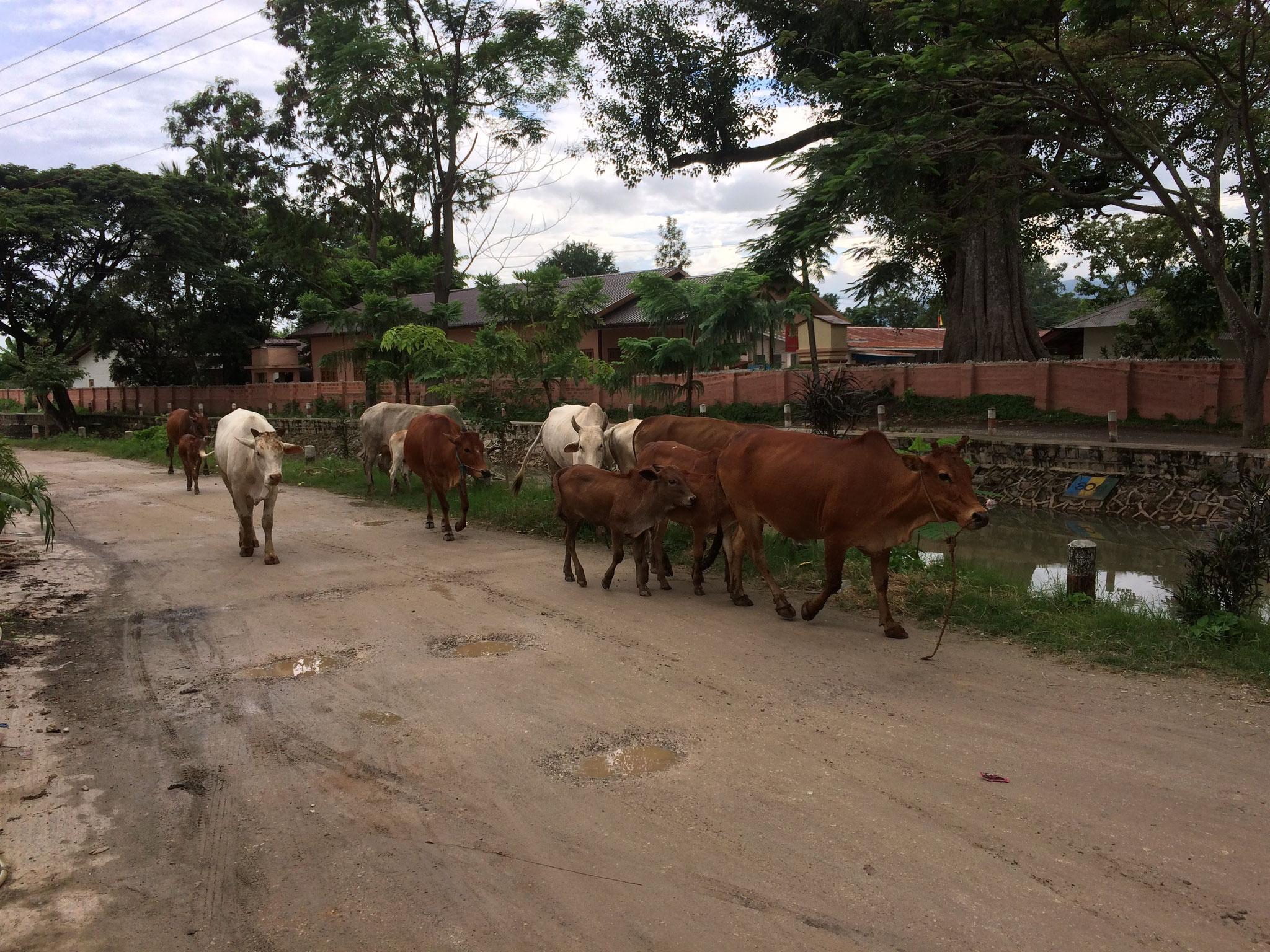 Yep, auch hier gibts Kühe! Aber nicht nur auf den Weiden! ;-)