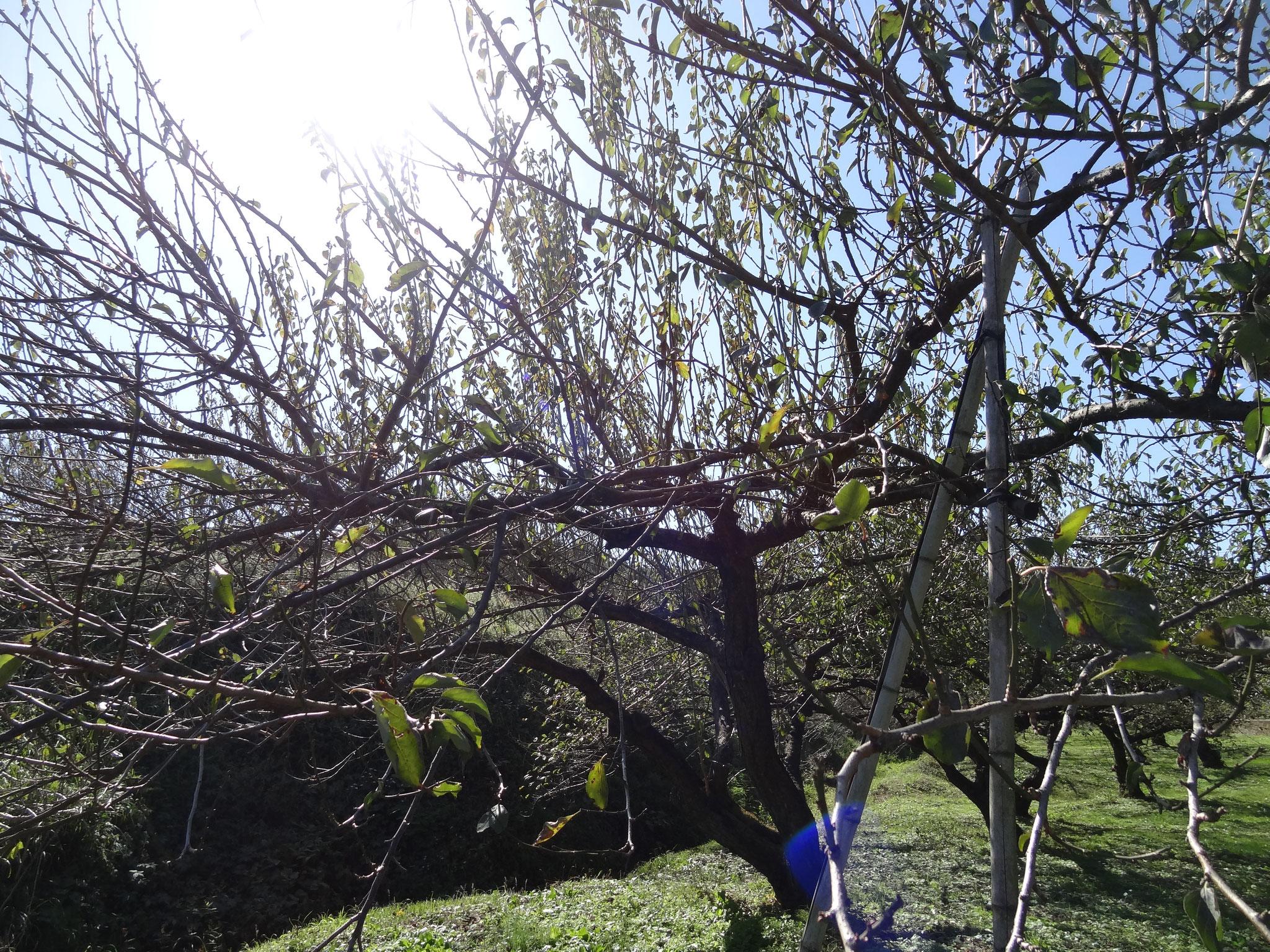 樹齢50年の梅の木も。