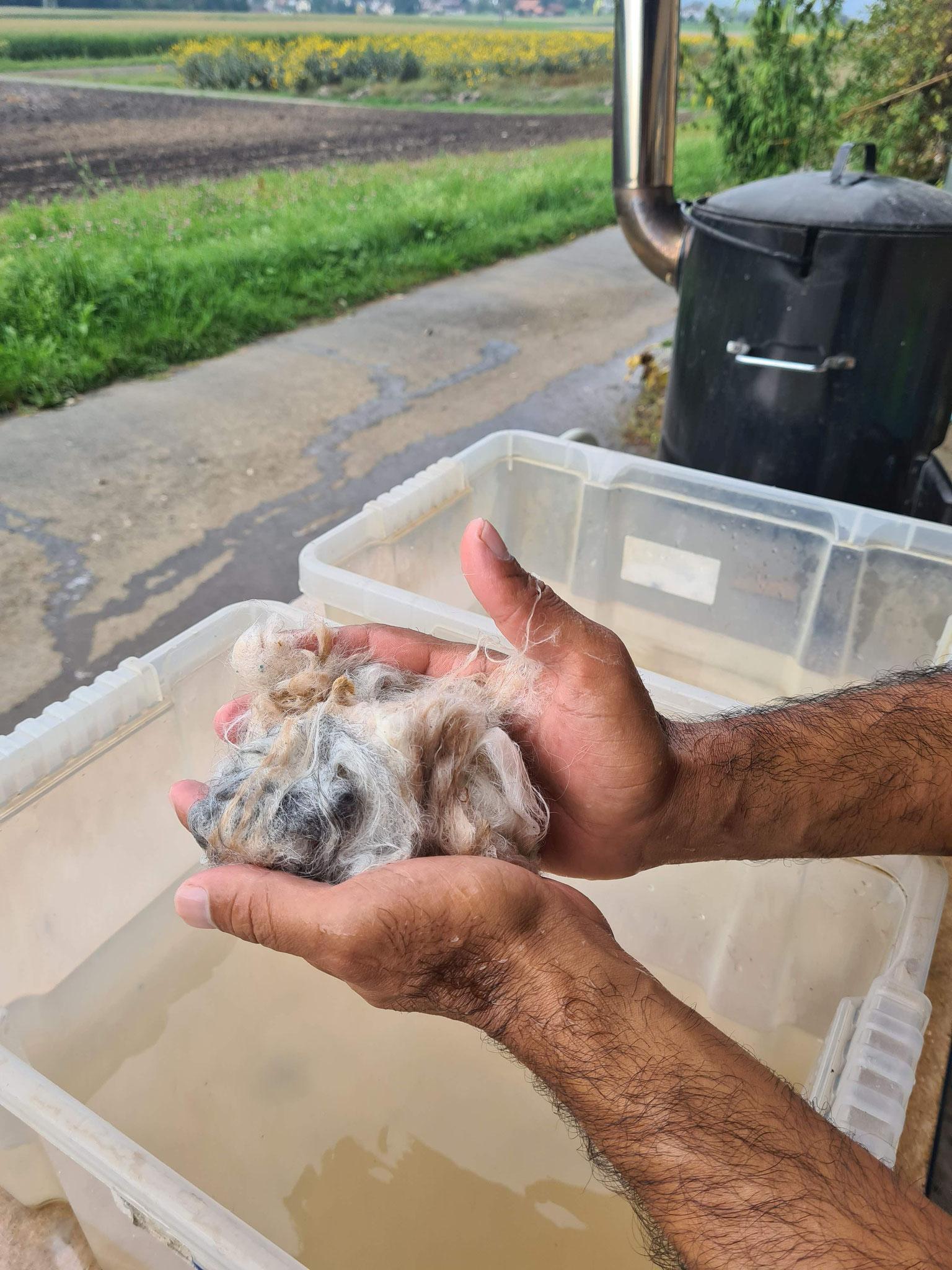 Die Alpakawolle wird gewaschen