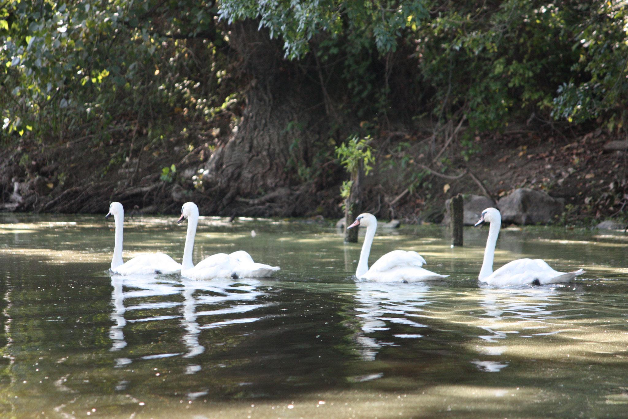 Biodiversité du lac de Grand Lieu (France, 44): de jeunes cygnes réticulés.