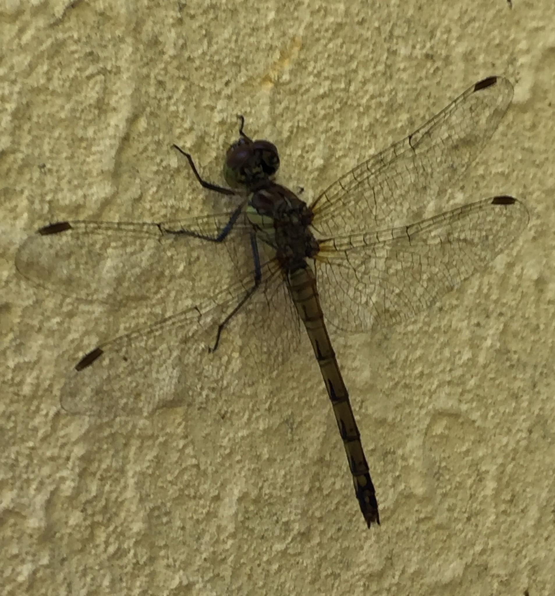 Libellule: Sympétrum noir adulte (sans doute femelle) (Loire atlantique)